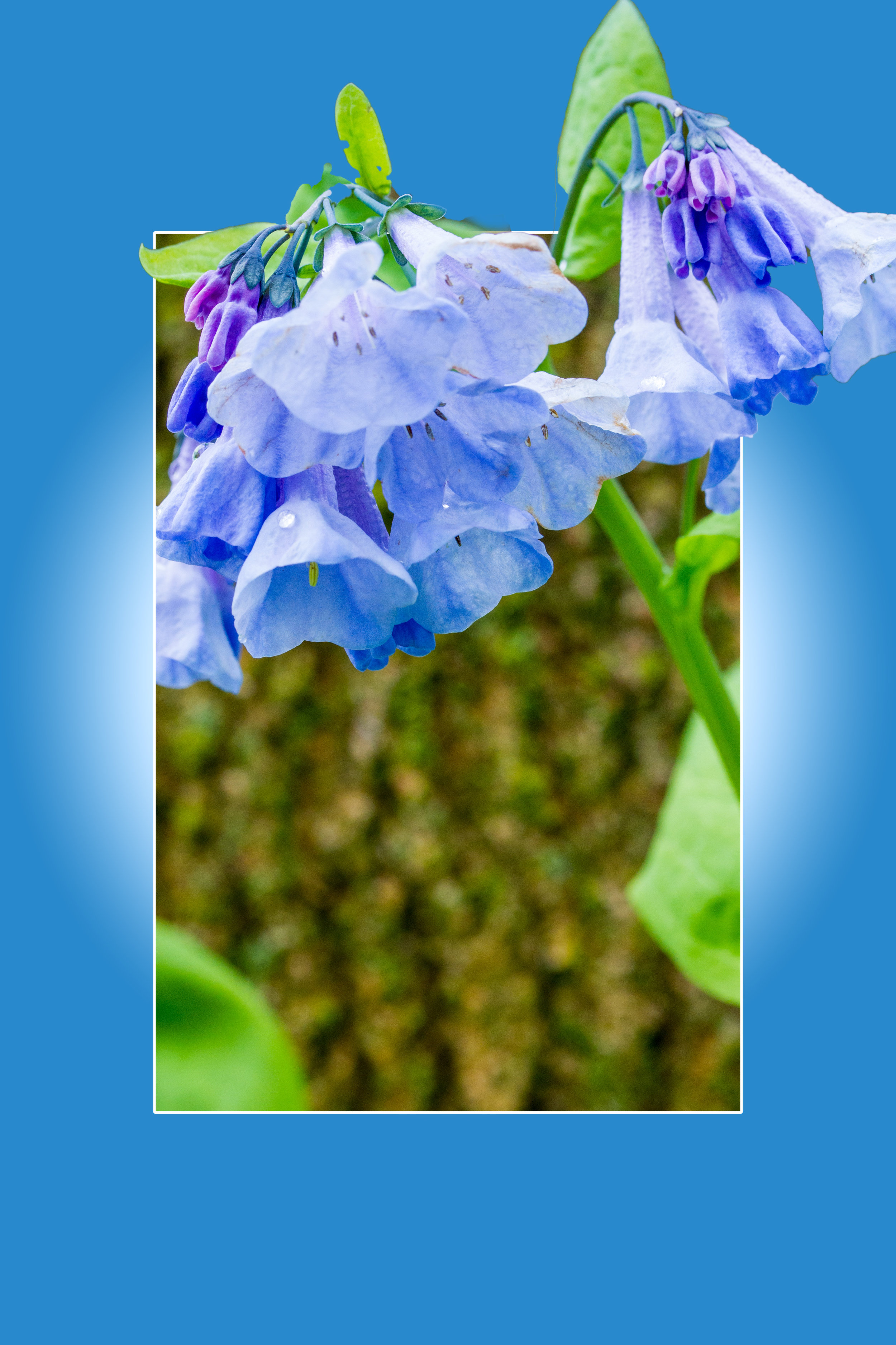 Blue Bells Out of Bounds - Phil Waitkus
