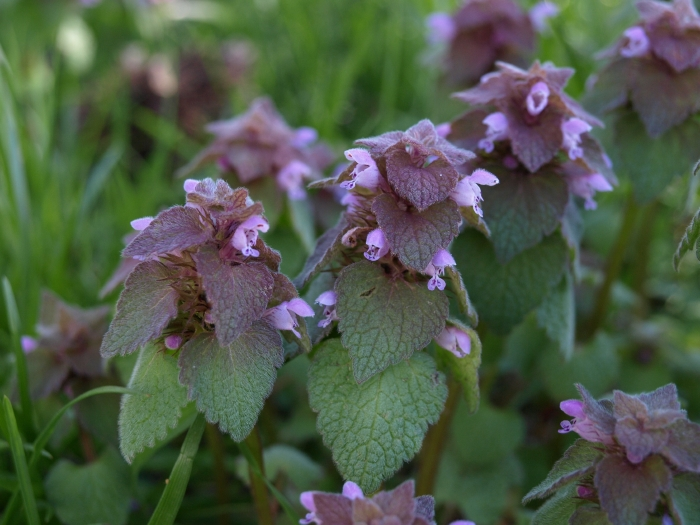 deadnettle.jpg
