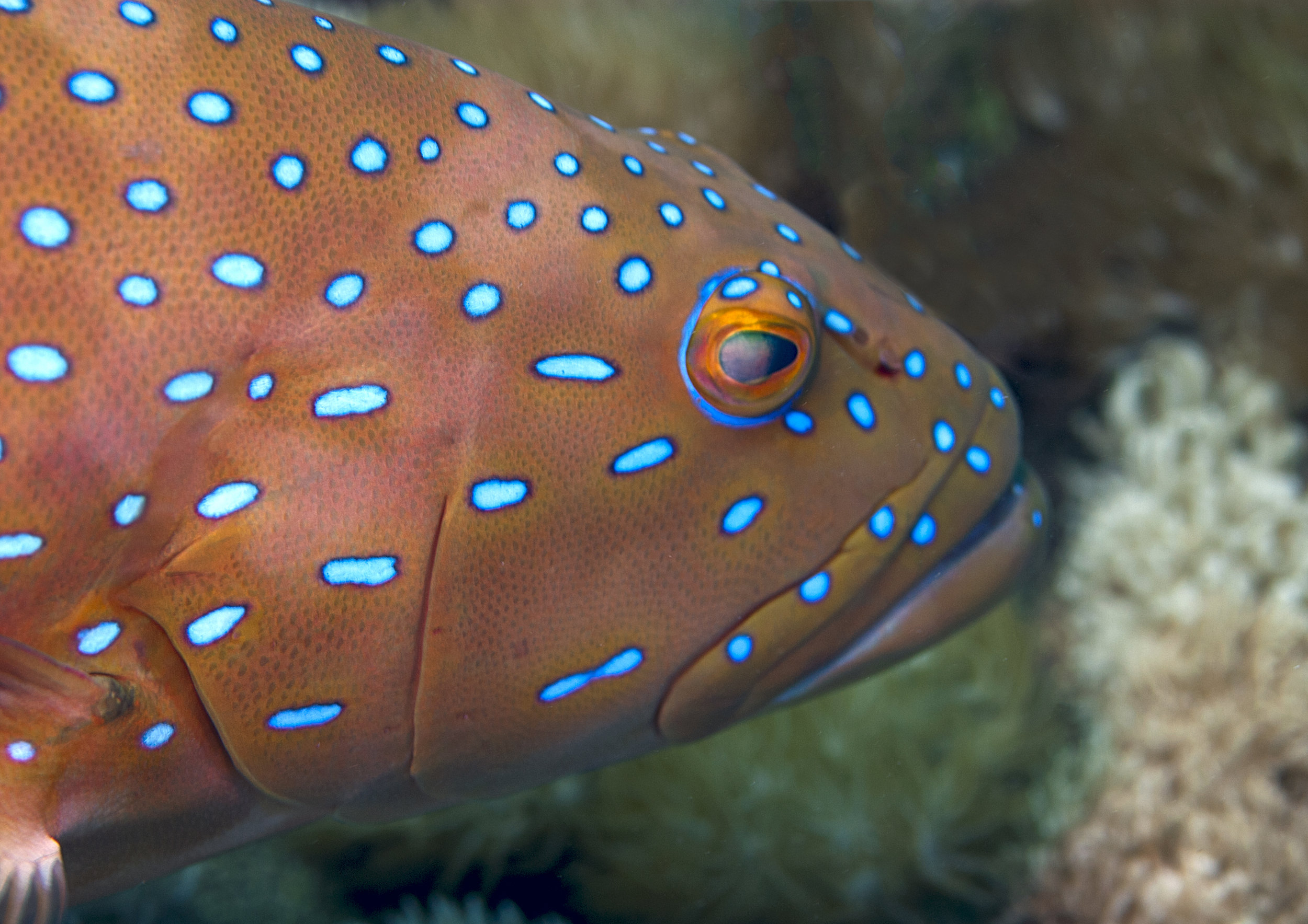 The barcheeked coral trout,  Plectropomus maculatus,  Photo credit: Phil Woodhead Underwater Photography
