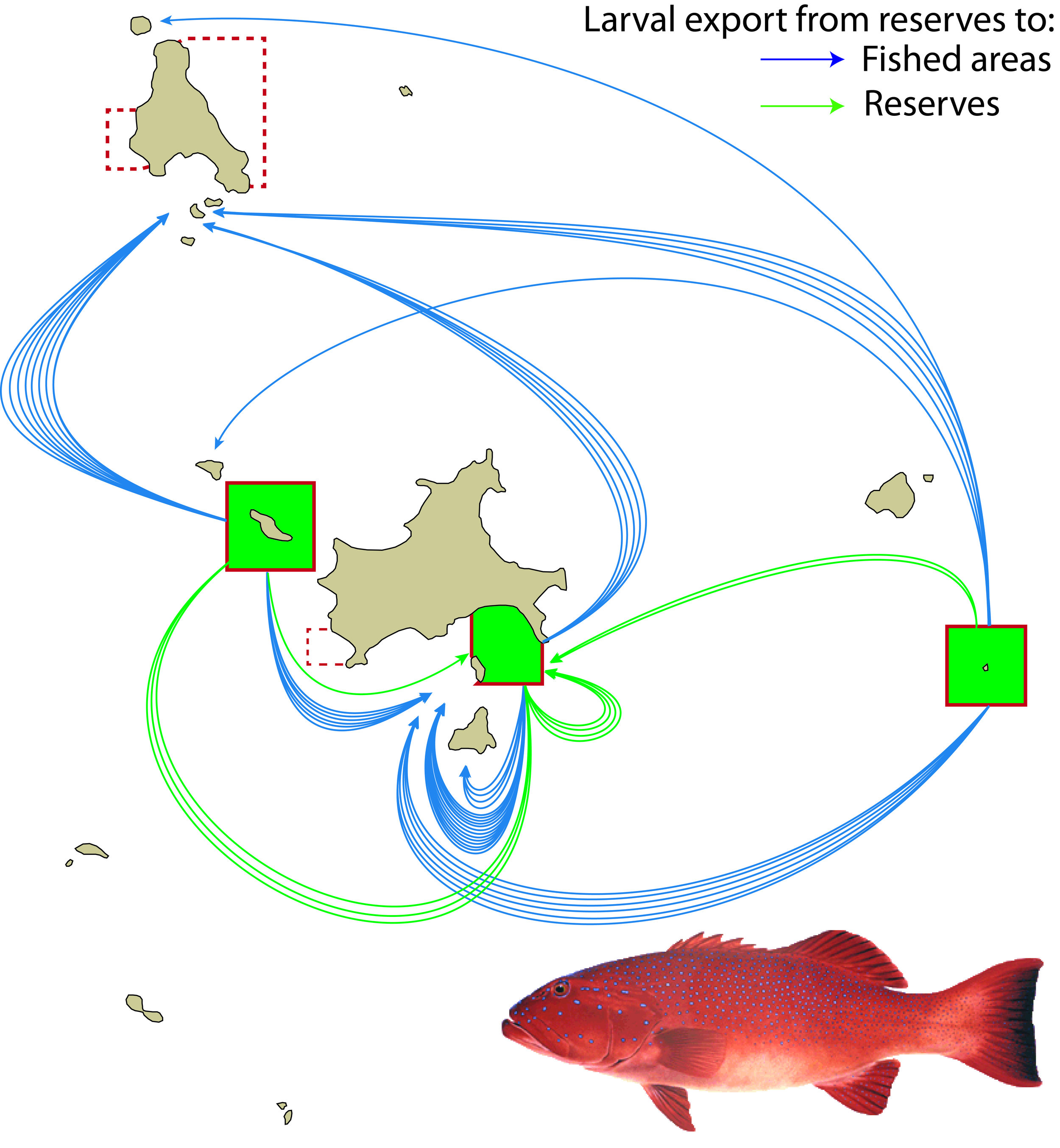 Realized dispersal patterns of juvenile coral trout from a network of marine reserves   Using DNA fingerprinting technology, we tracked the dispersal pathways of baby coral trout and stripey snappers from the marine reserves (dark green) in the Keppel island group where they were spawned. We found that a very large proportion of baby fish settled on reefs in areas that are open to fishing, up to 30 kilometres from the place they were spawned. Most of the baby fish settled within 1-5kms of reserves but a significant proportion dispersed 10 kilometres or more to find a new home. Other reserves in the island group are indicated by dashed lines.
