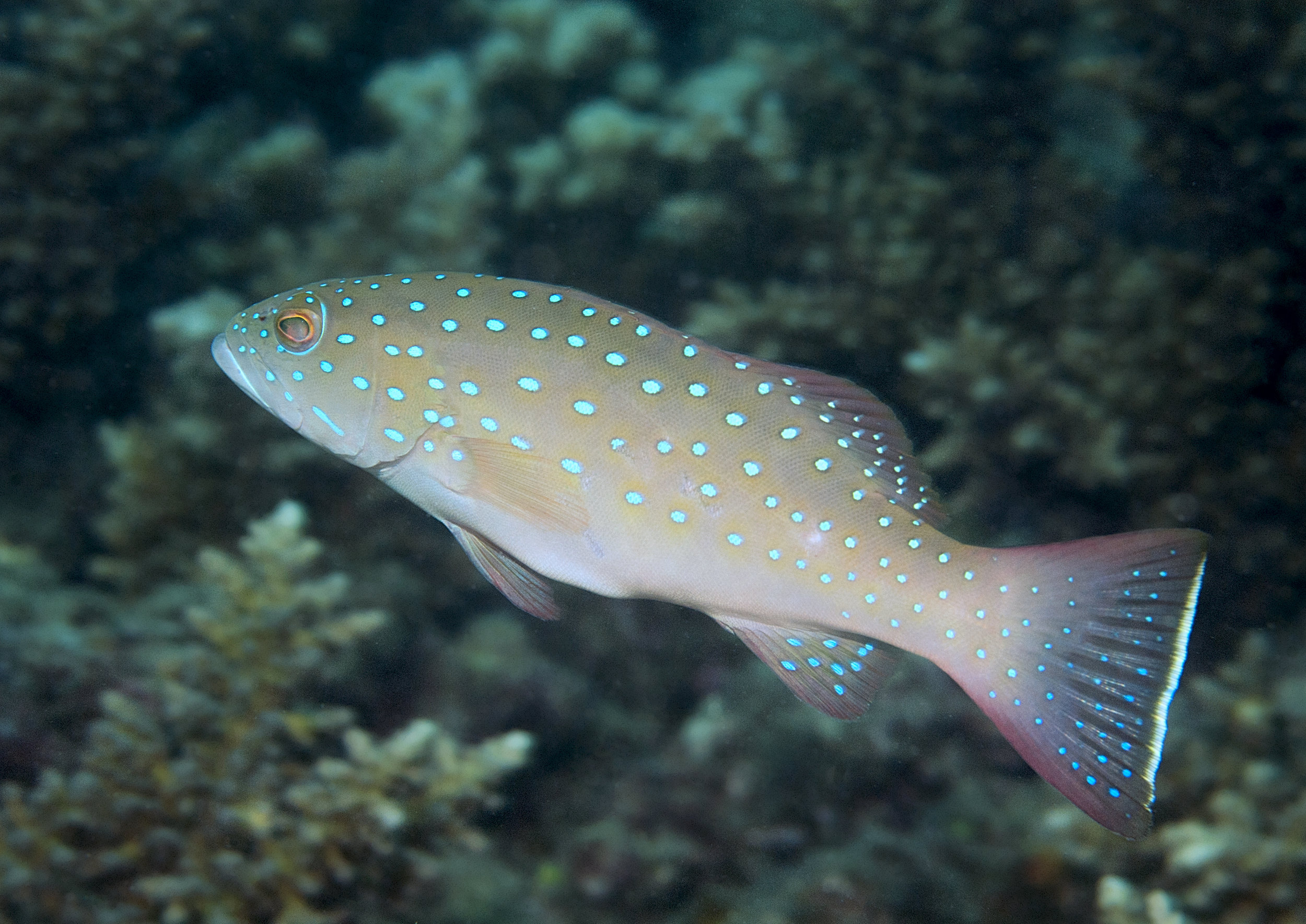 Juvenile coral trout ( Plectropomus maculatus ) - Photo: Phil Woodhead Wet Image Underwater Photography