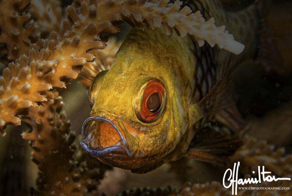A mouth-brooding male cardinalfish. Credit: Clive Hamilton