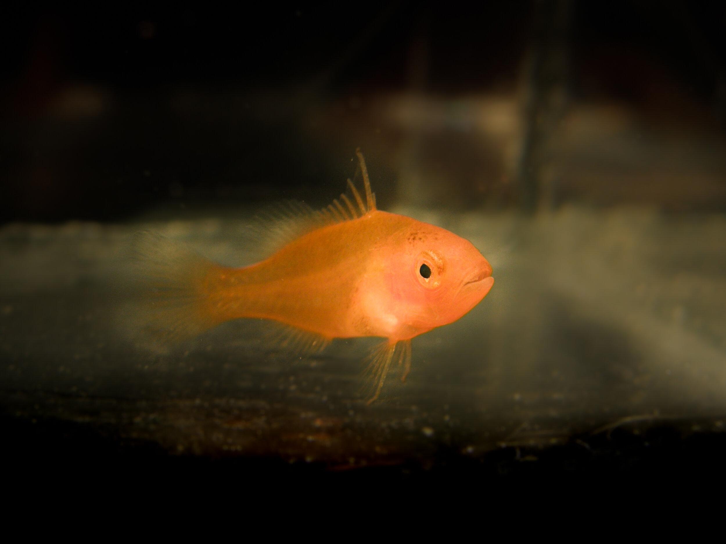 Pre-settlemnt coral trout larva. Credit: Colin Wen
