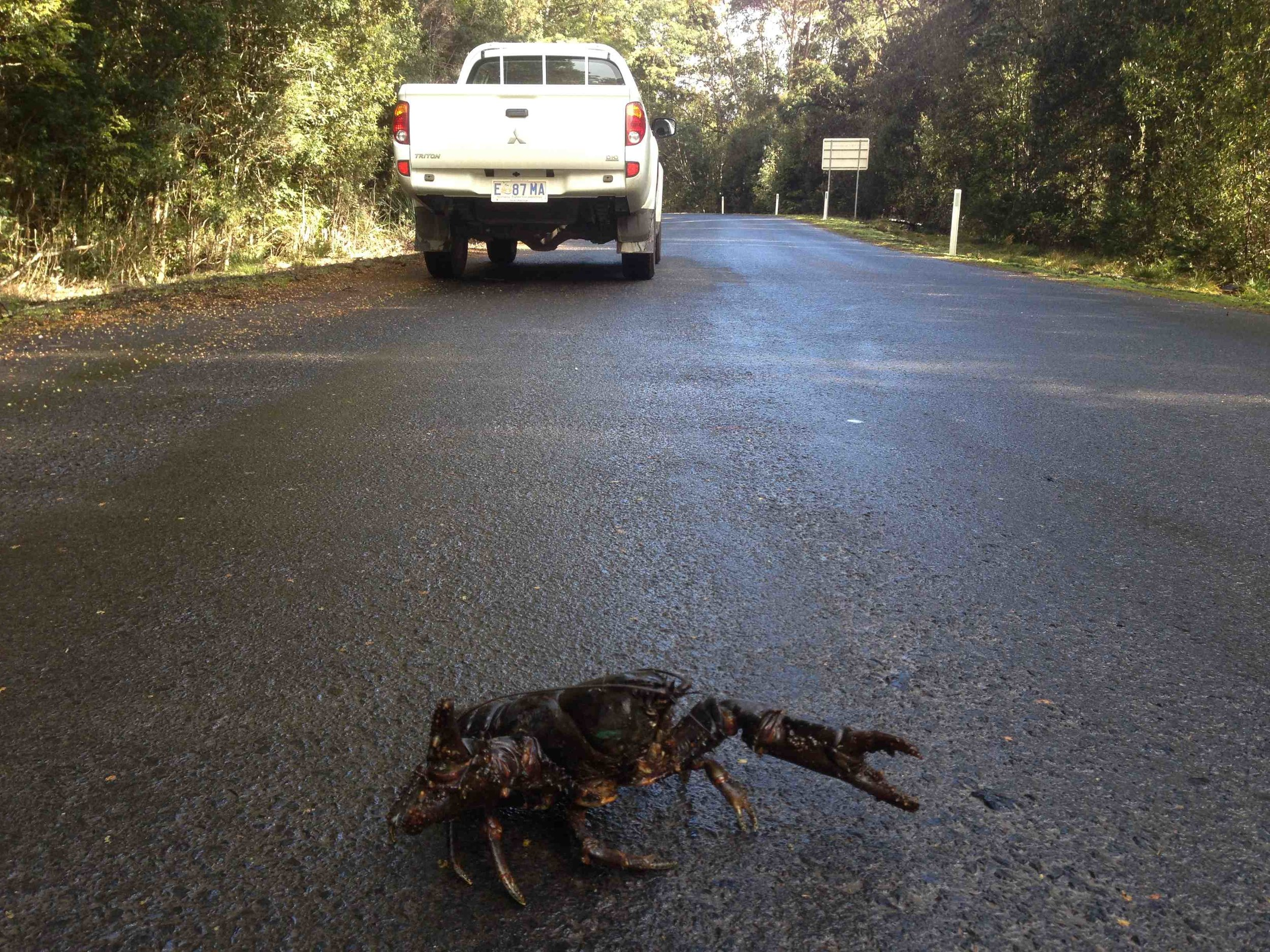 Giant Fresh Water Crayfish survives a road crossing at Arthur River. Photo by Stuart Swanson