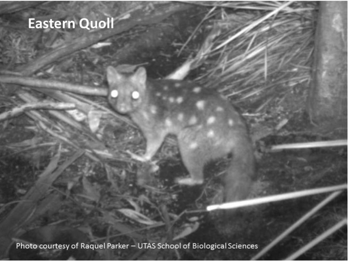 Eastern Quoll. Photo courtesy of Raquel Parker - UTAS School of Biological Sciences