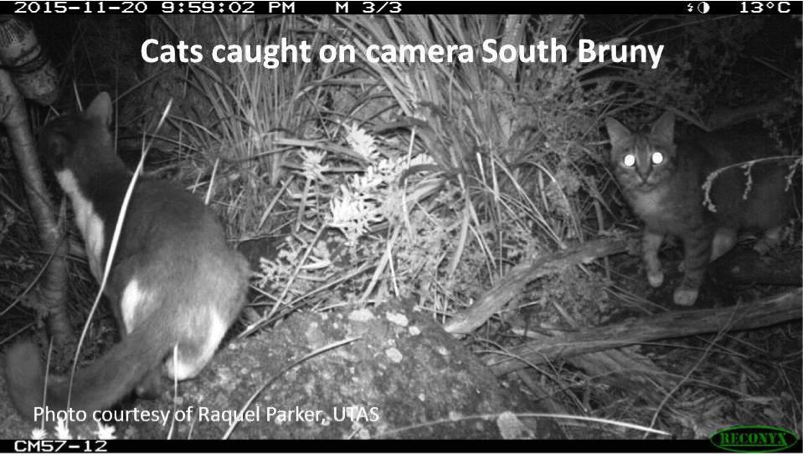 Cats caught on camera at South Bruny Island. Photo courtesy of Raquel Parker, UTAS