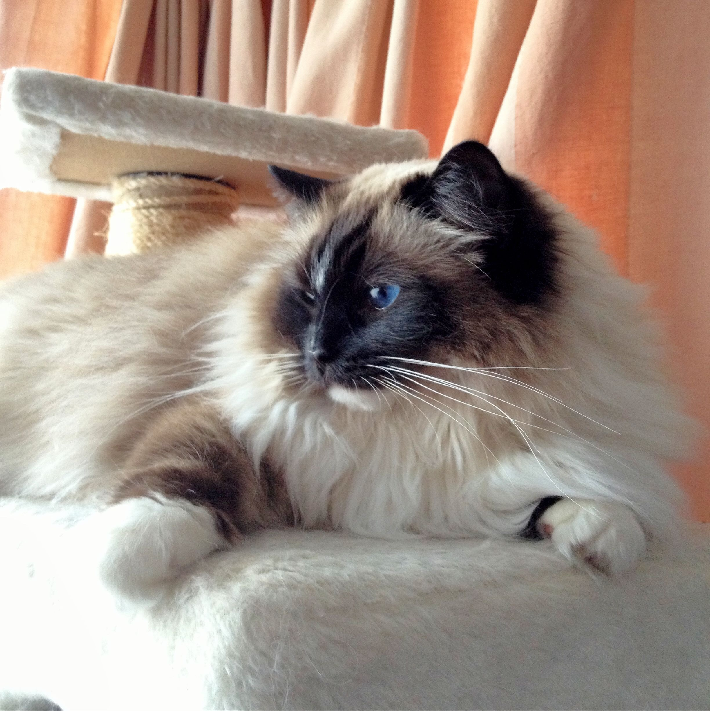 Photo of Munchkin the indoor cat, courtesy of John Dalton.    Photo at the top of the article is of Mossy the indoor cat, courtesy of Tania Fordwalker