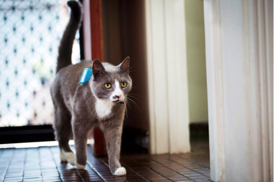 Cat with GPS tracker on a harness. Photo courtesy of University of South Australia.