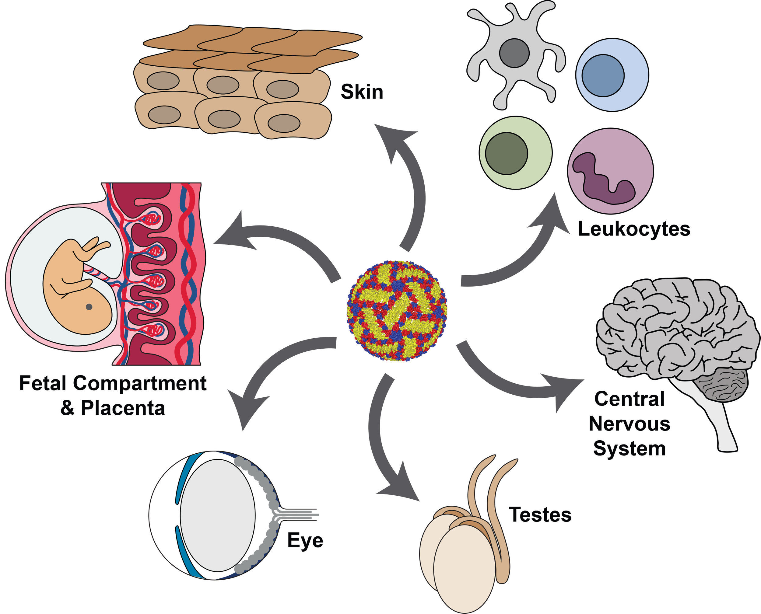 Flaviviruses infect a variety of tissues, some of which are protected by specialized bariers