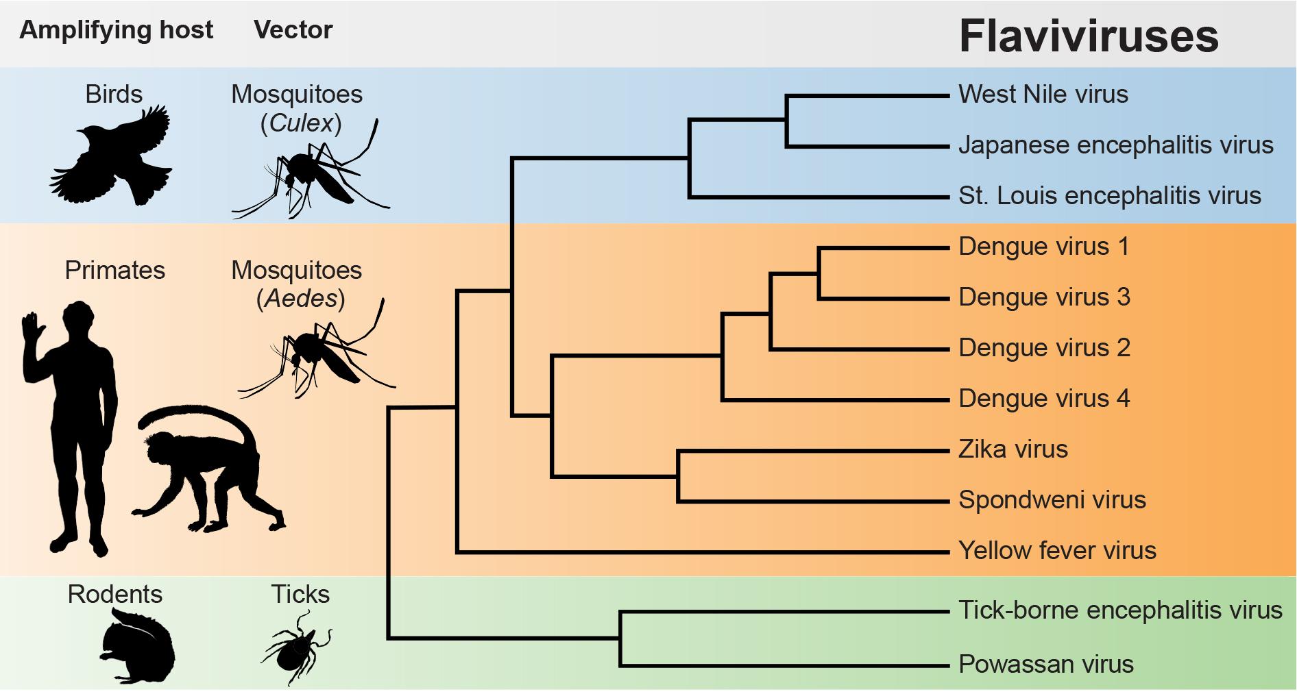 Examples of flaviviruses that cause human disease