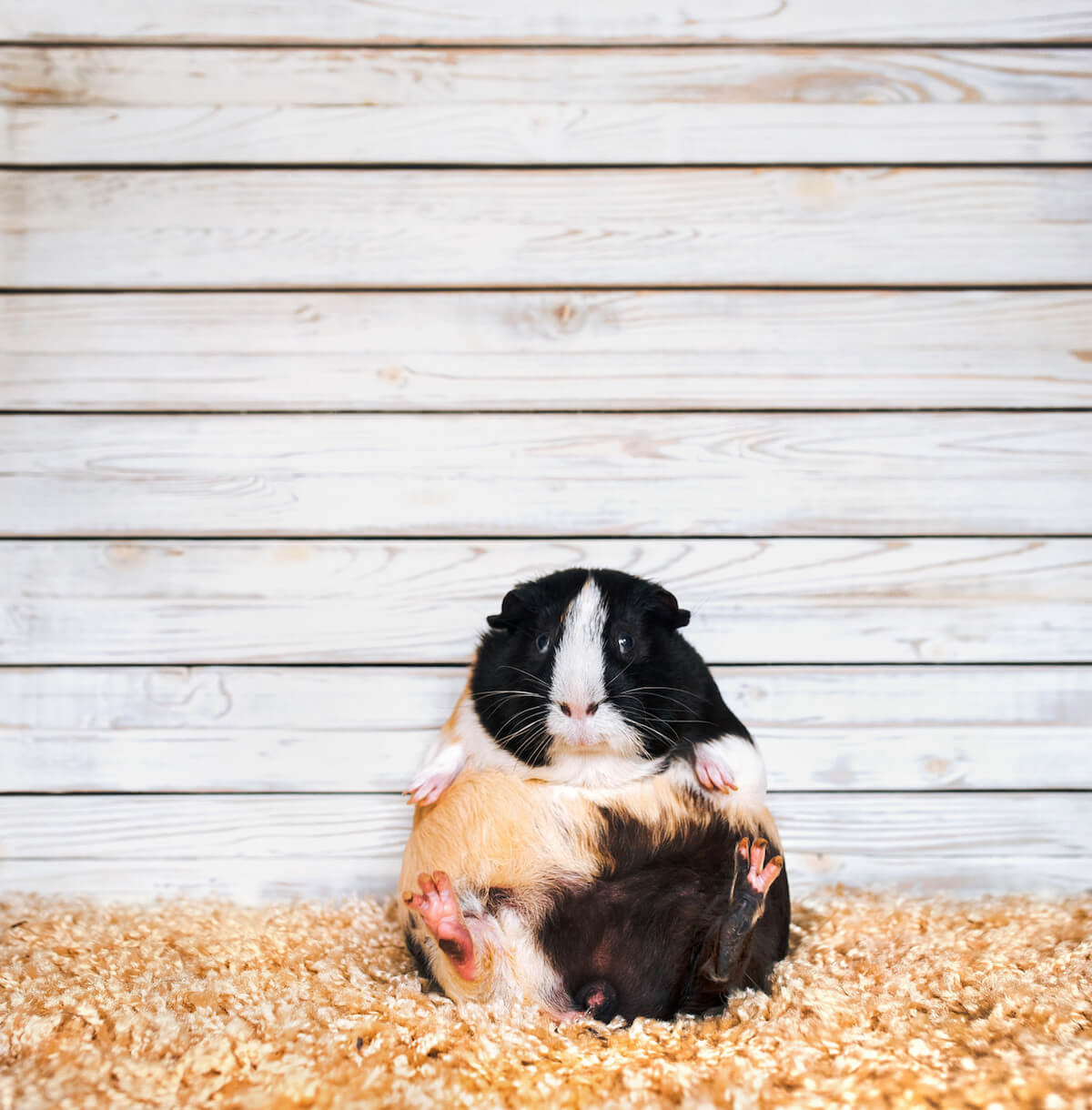 guinea pig city farm London.jpg