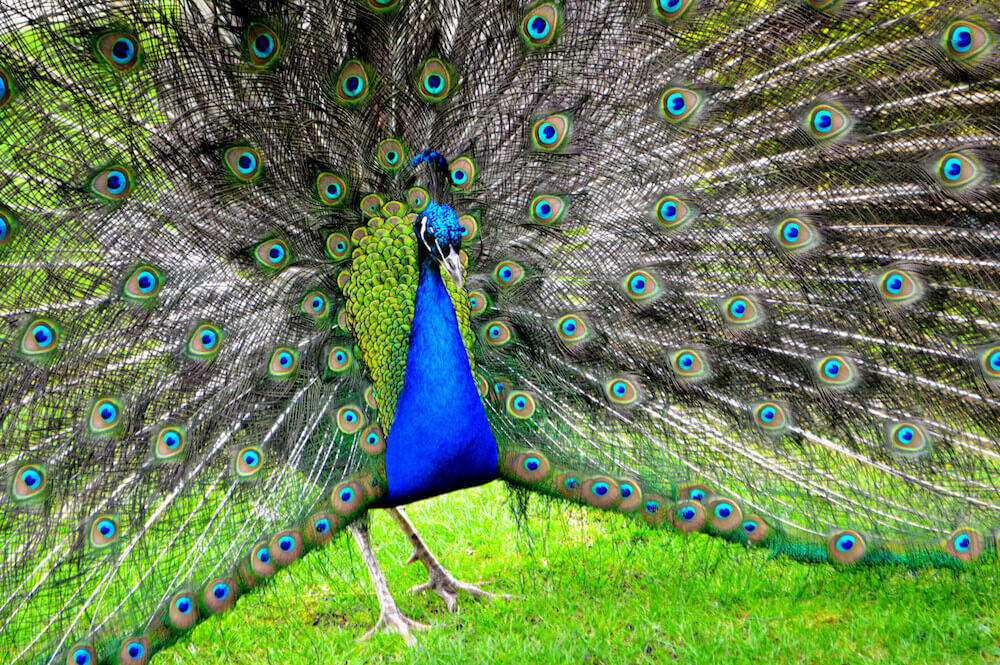 holland park peacock London.jpg