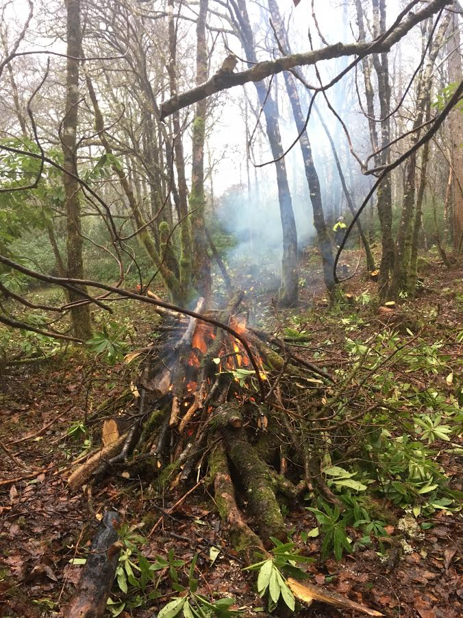 Rhododendron cut and burn