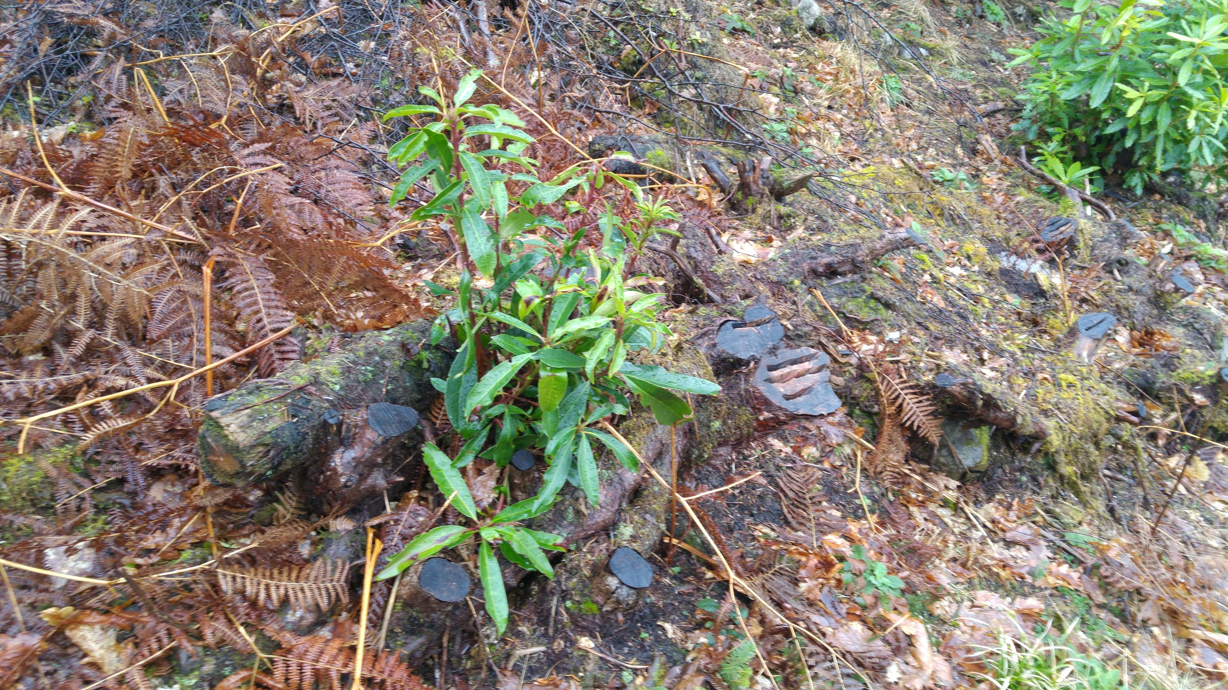 Regenerating rhododendron from a previously cut stump