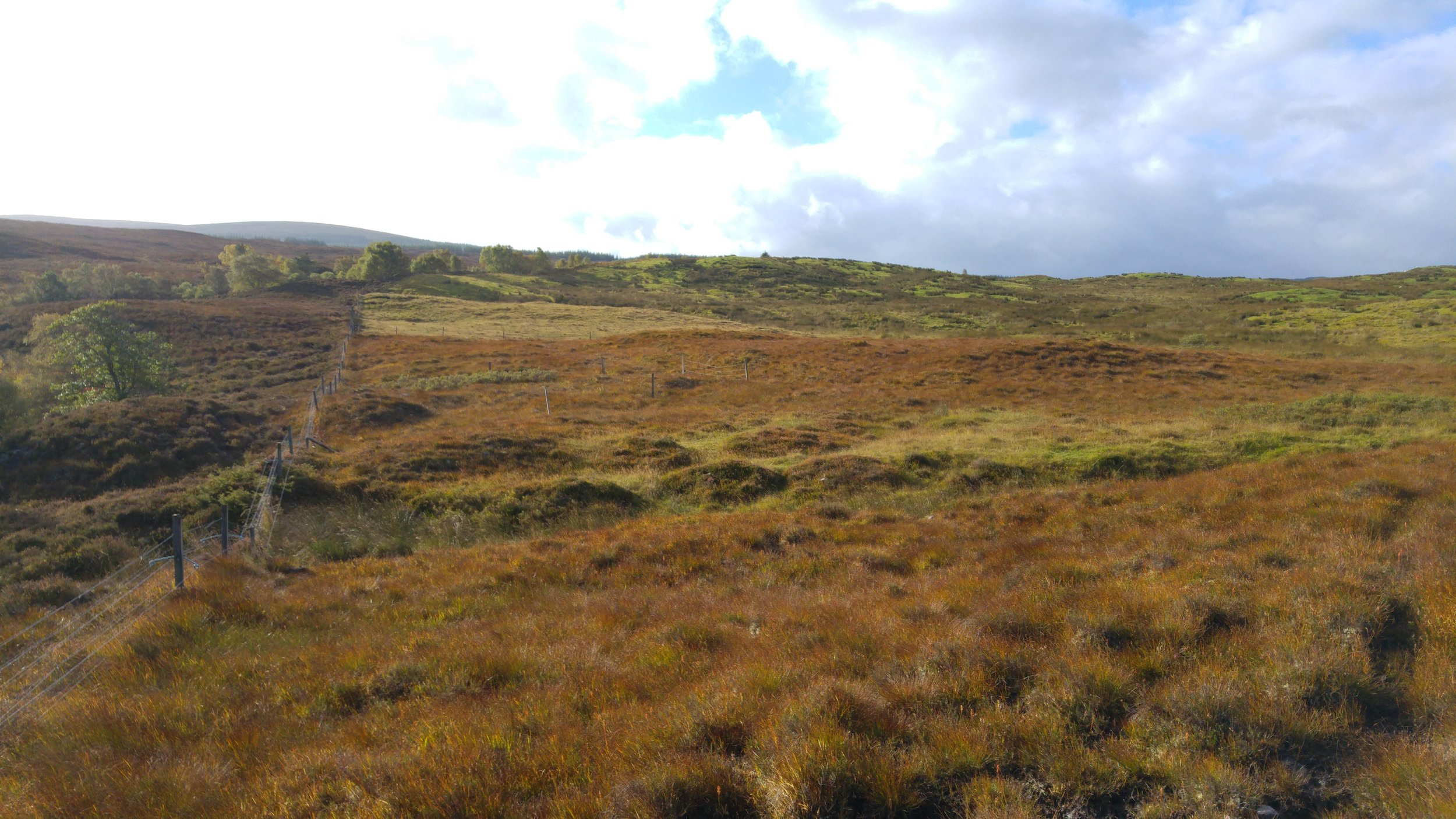 This picture shows some of the lower ground that I was surveying. It is interesting because the underlying geology and the soil conditions are the same - broadly speaking - in all areas that appear in the photo, yet the vegetation cover is markedly different. To the left, there is largely un-managed ground, perhaps subject to some light grazing by sheep.  The dominant vegetation cover here is heather ( Calluna vulgaris ) and there are also some stands of scattered native woodland. To the right of the stock fence the ground is unimproved, improved and semi-improved rough grassland. These areas are permanently grazed by sheep. On that side of the fence, the brown grass in the foreground is Deer grass ( Trichophorum germanicum ) and it is the dominant vegetation cover where the ground has not been improved. The dark green areas on the slopes above it were improved by adding lime. This was done in the 1970s.  The improved areas were then reseeded with a commercial grass mix at the same time. Although it is difficult to see this clearly in the image, there is a small area of pale green ground to the right of the fence and immediately above the amber hues of the Deer grass. This area was limed but not reseeded, so the sward is unimproved and consists mainly of the rough grasses that were present at the time.