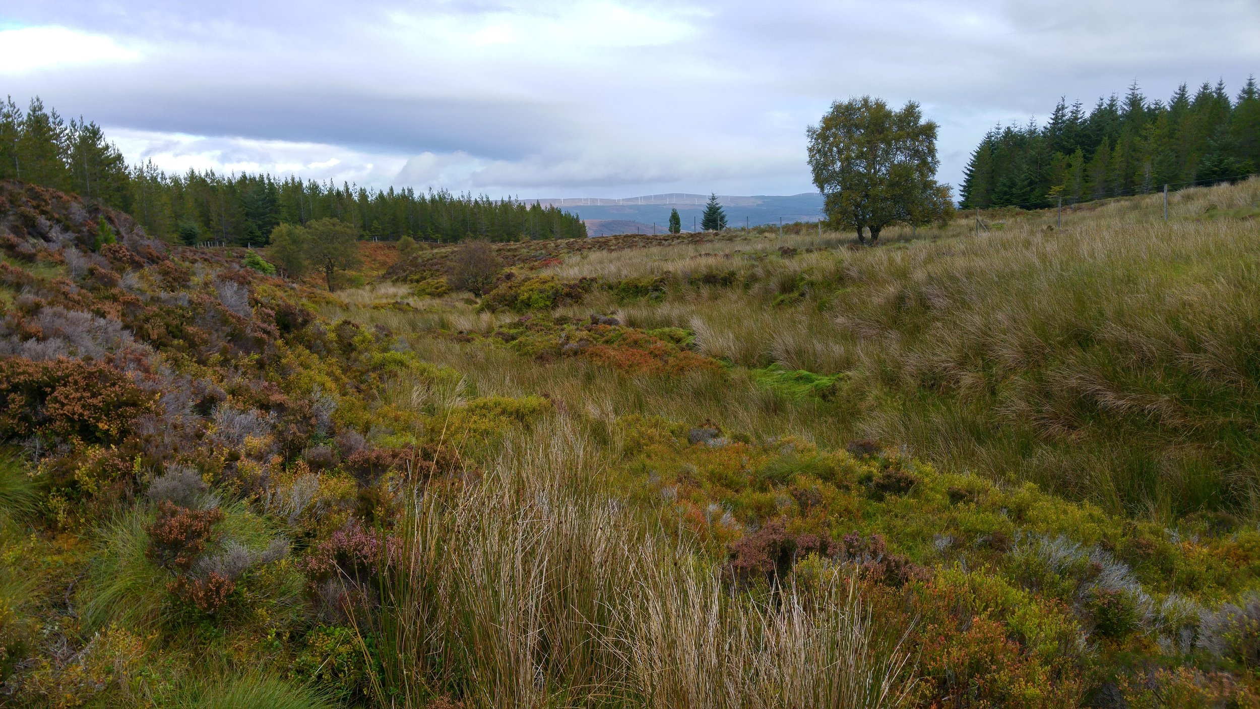 Further up the hill, I came to the main project area. Here, we have open ground on both sides of a minor watercourse (not easy to see in the picture) which is located between several blocks of non native conifers that were planted for timber production.  The species in these plantations are typical of this upland environment:  Scots pine, Lodgepole pine, Sitka spruce and larch. My purpose of being here was to consider whether it was worthwhile excluding deer from these areas of open ground and then planting native trees to restore the natural tree cover. Unfortunately, it did not take long to realise that the peat was too deep to support grant funded tree planting in most places, even though the nutrient status was sufficiently good for heather to grow quite well in some areas.