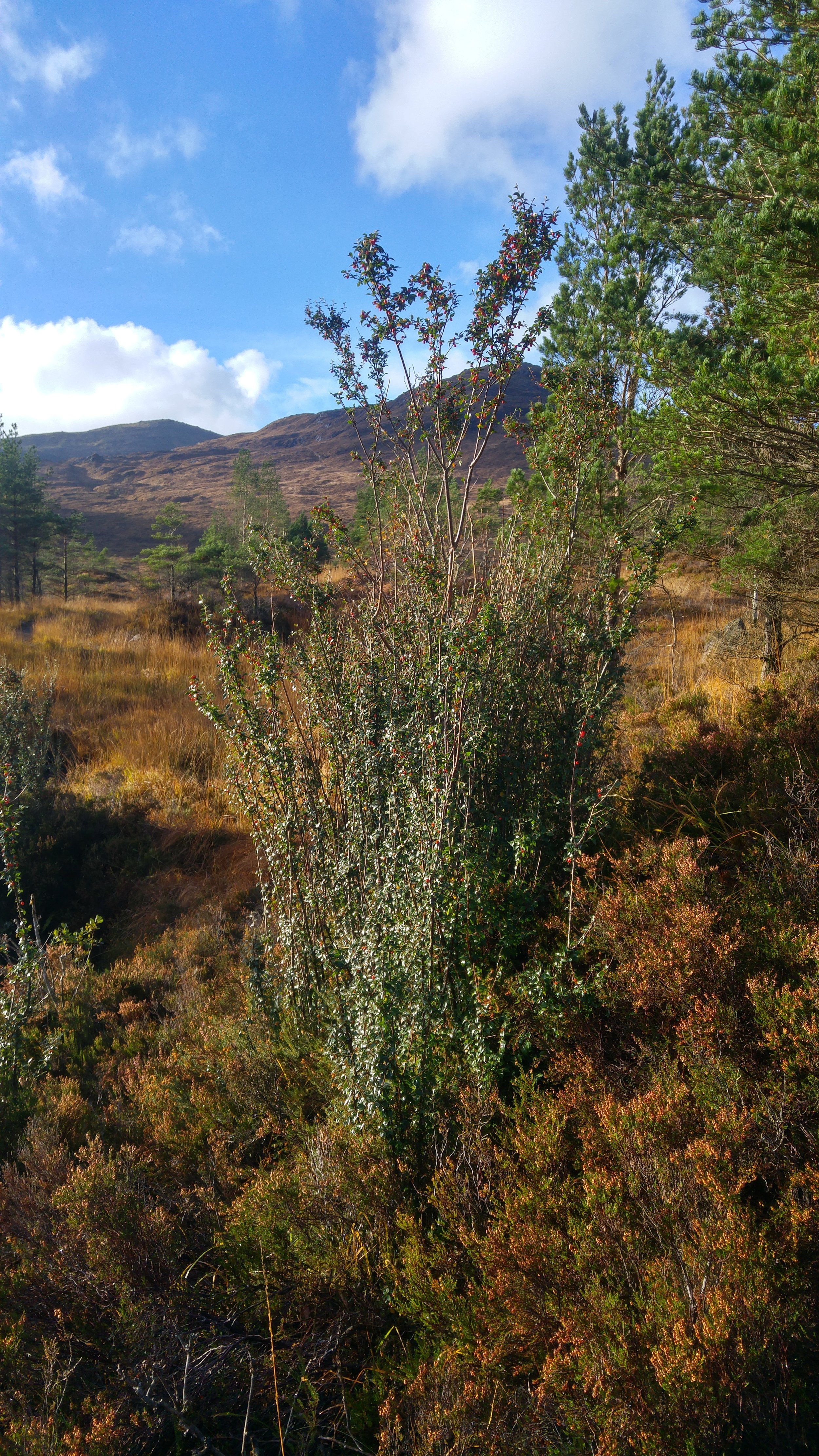 A picture of one of the target species: a mature cotoneaster growing wild in an upland environment.
