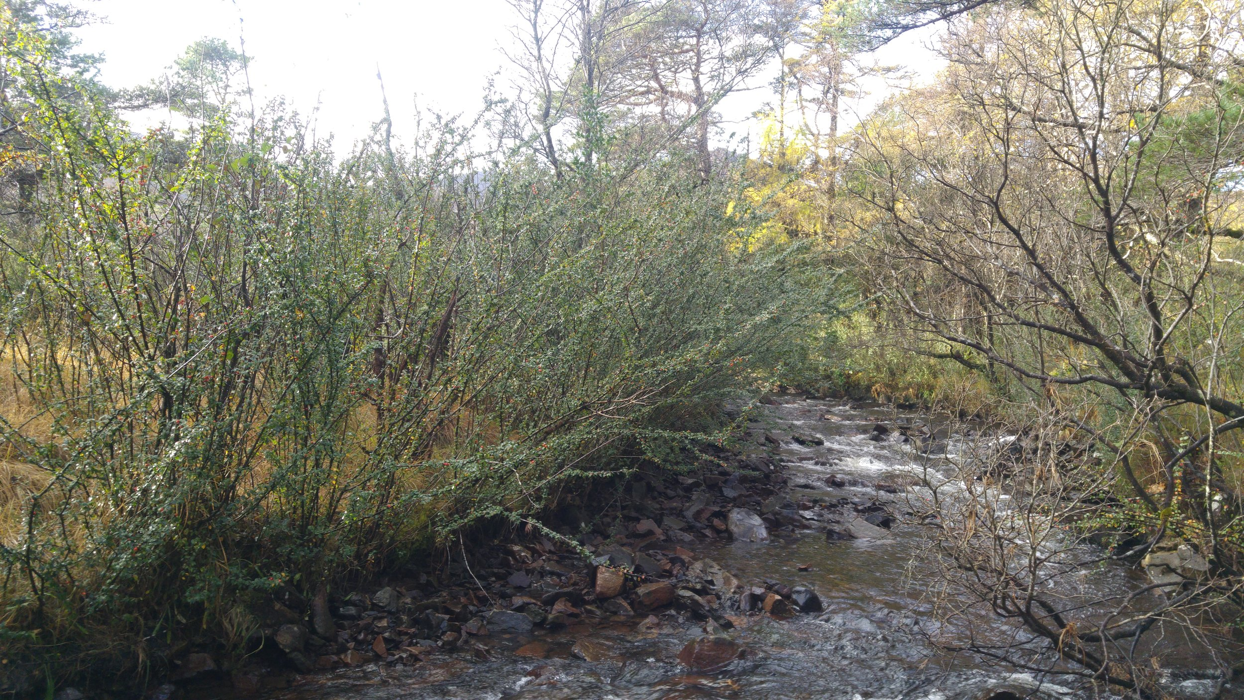 More cotoneaster. This time, I stand of plants in a riparian setting. I wondered whether upstream bushes had been the source of seed for these plants, as indeed they probably now are for younger plants growing further downstream.