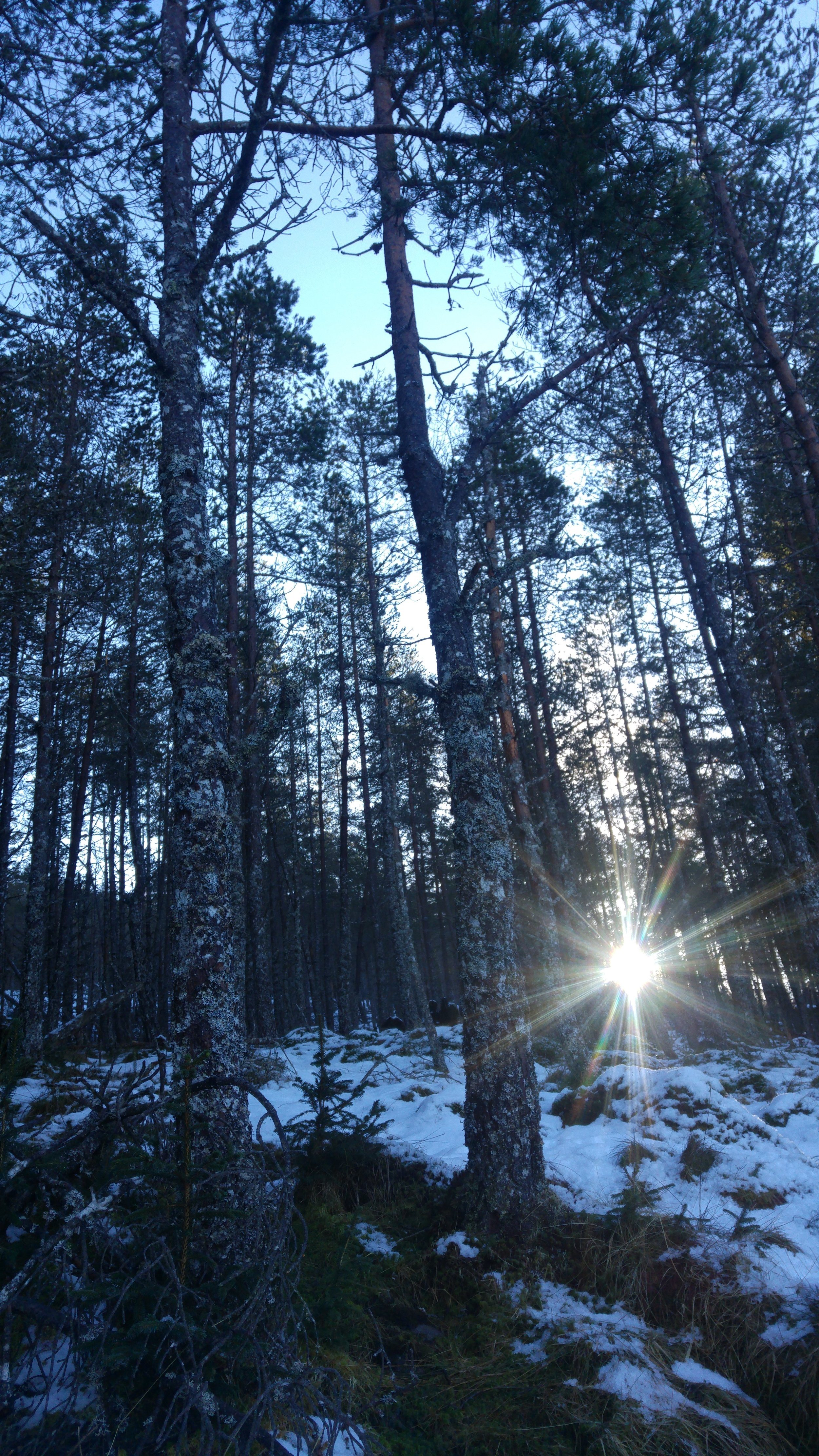 January sun shining through a stand of Scots pine at 11 in the morn'.