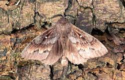 The Pine tree lappet moth, courtesy of Forest Research at   https://www.forestry.gov.uk/pinetreelappet