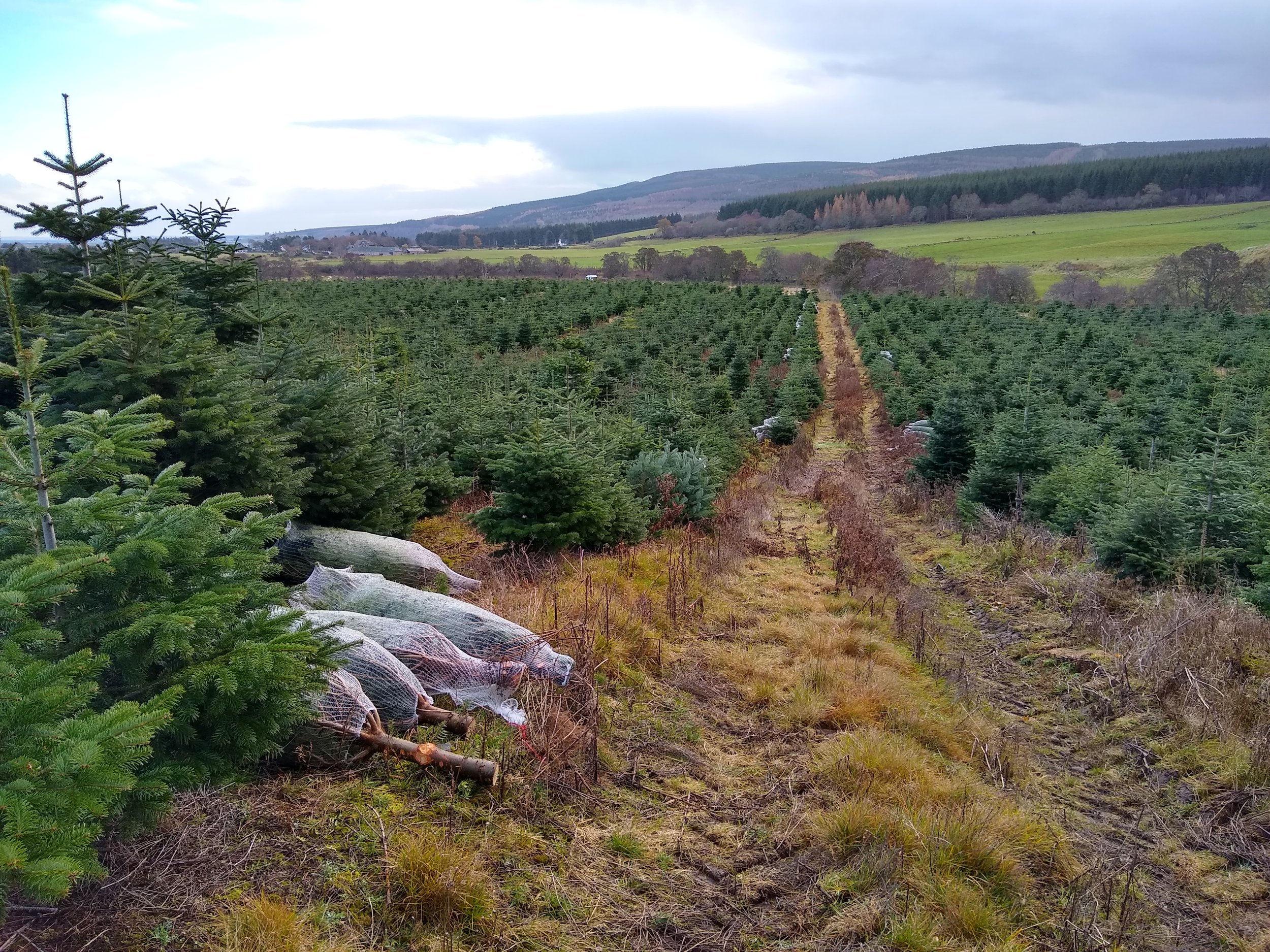 Christmas trees ready to go to market