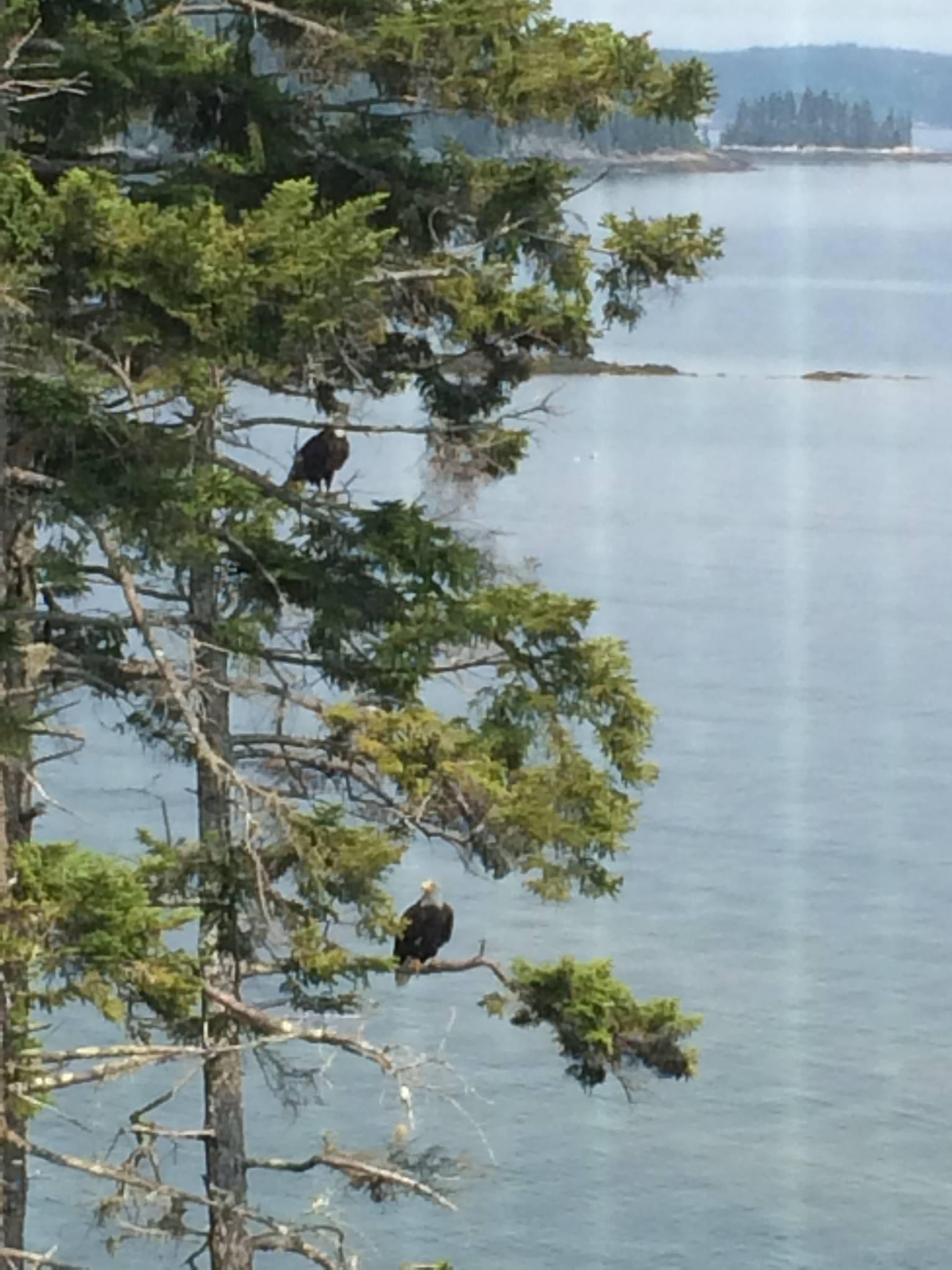 eagles in trees.jpg