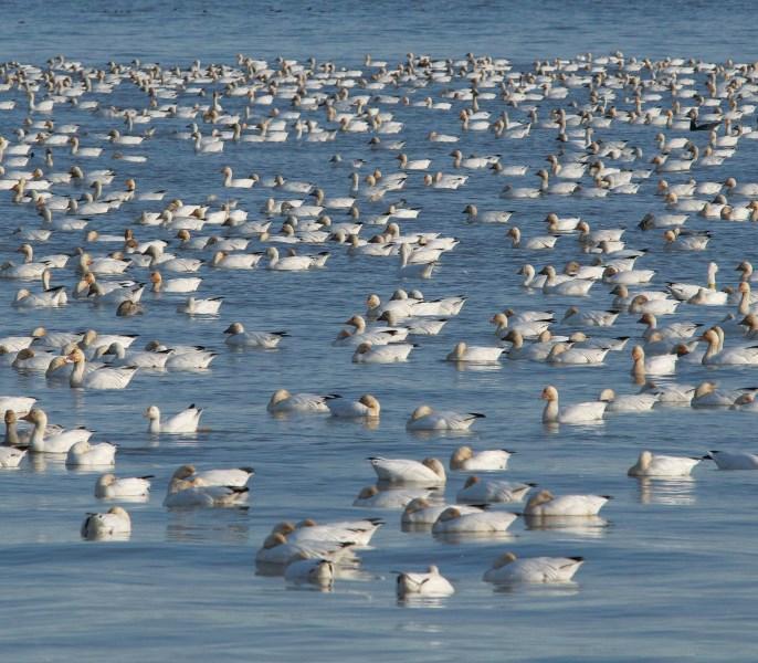 Oies des neiges dans la Réserve nationale de faune du Cap-Tourmente  photo : Chantal Lepire © Environnement et Changement climatique Canada