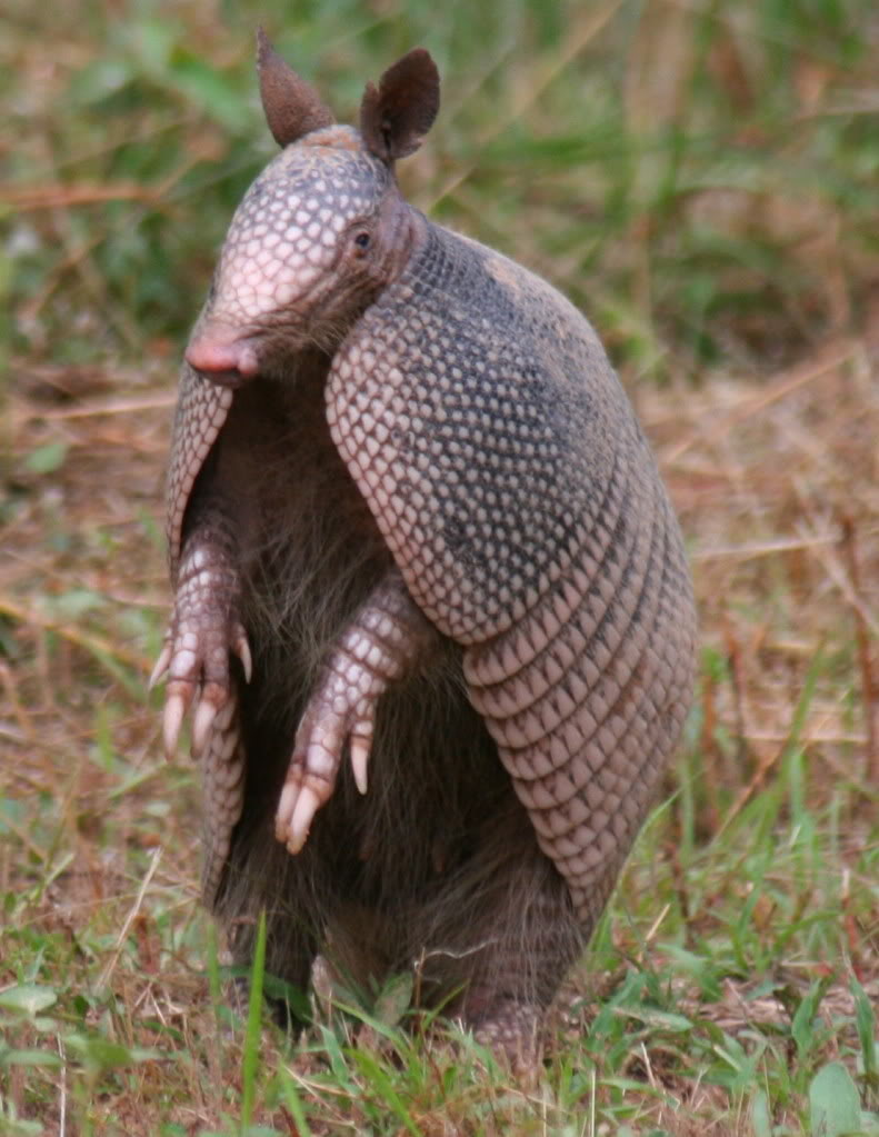 armadillo power animal