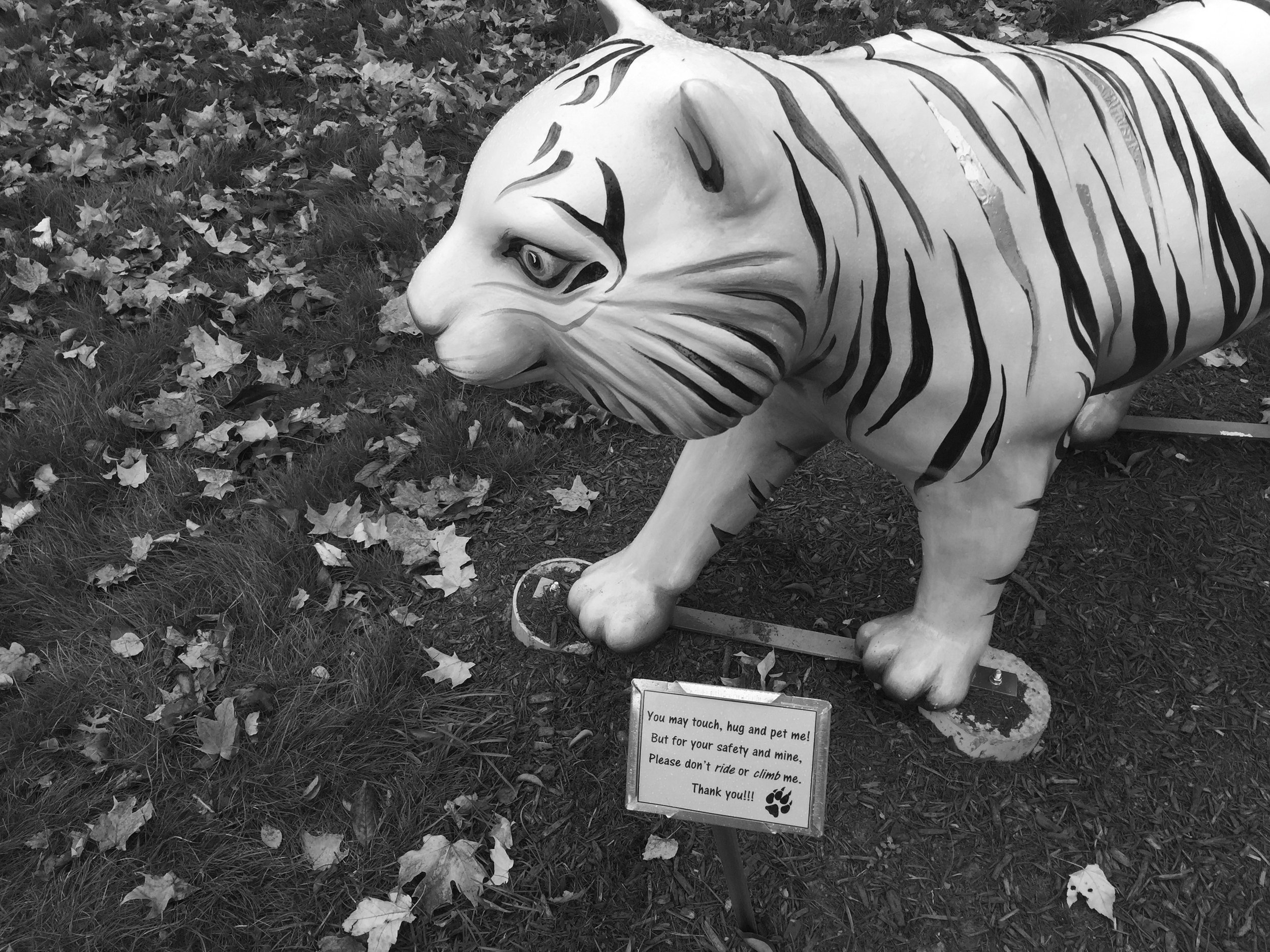 Photo by Hannah Roach '17 The tiger has since been nailed down in front of Gaylord Library so as to avoid a second relocation.