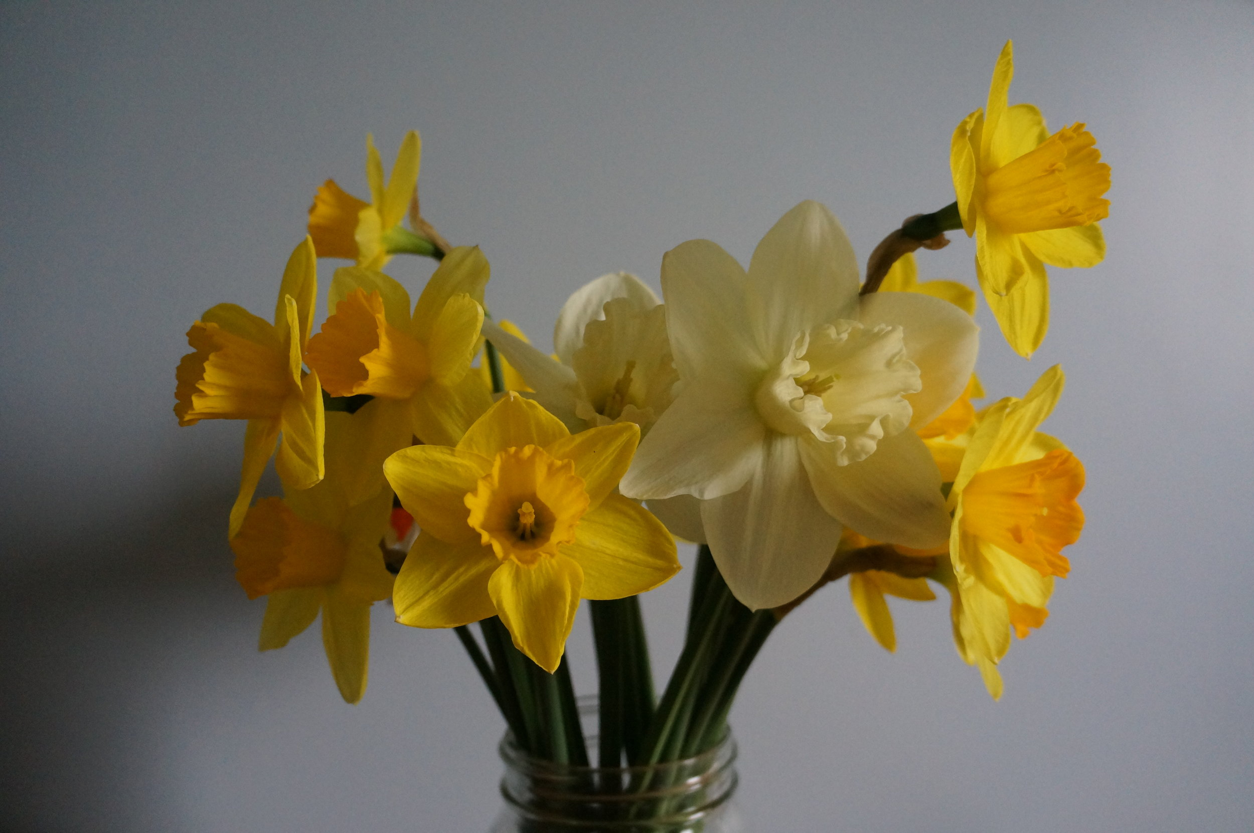 The start of the narcissus.'Fortune' &'Mt Hood'