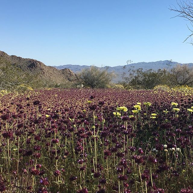 The bloom in Joshua Tree!