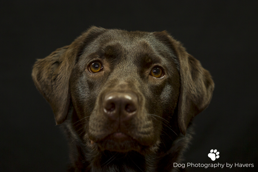 A lovely chocolate Labrador posing in our studio.