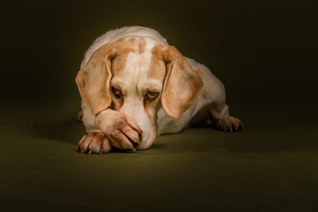 beagle for tim-9173.jpg