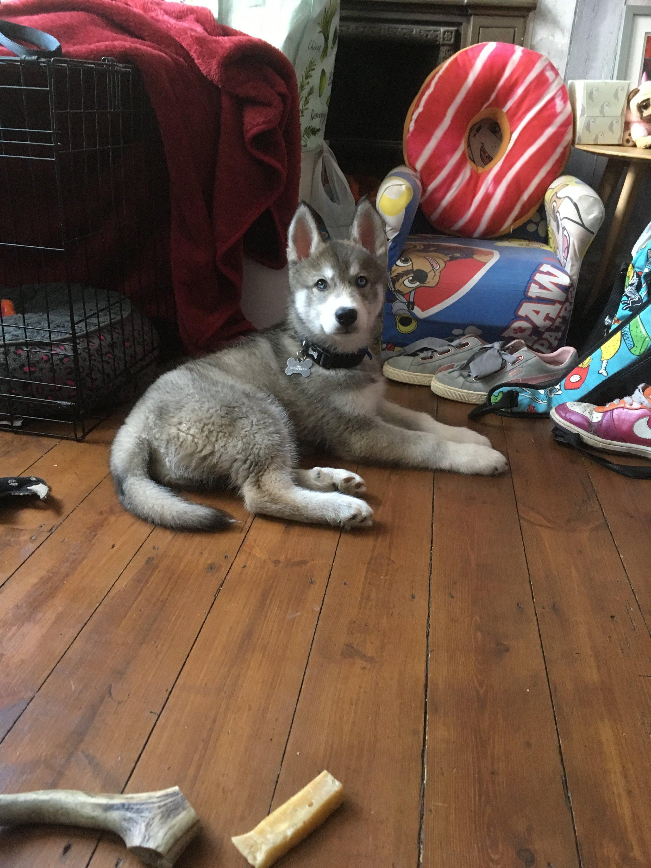 Husky puppy IMG_7024.JPG