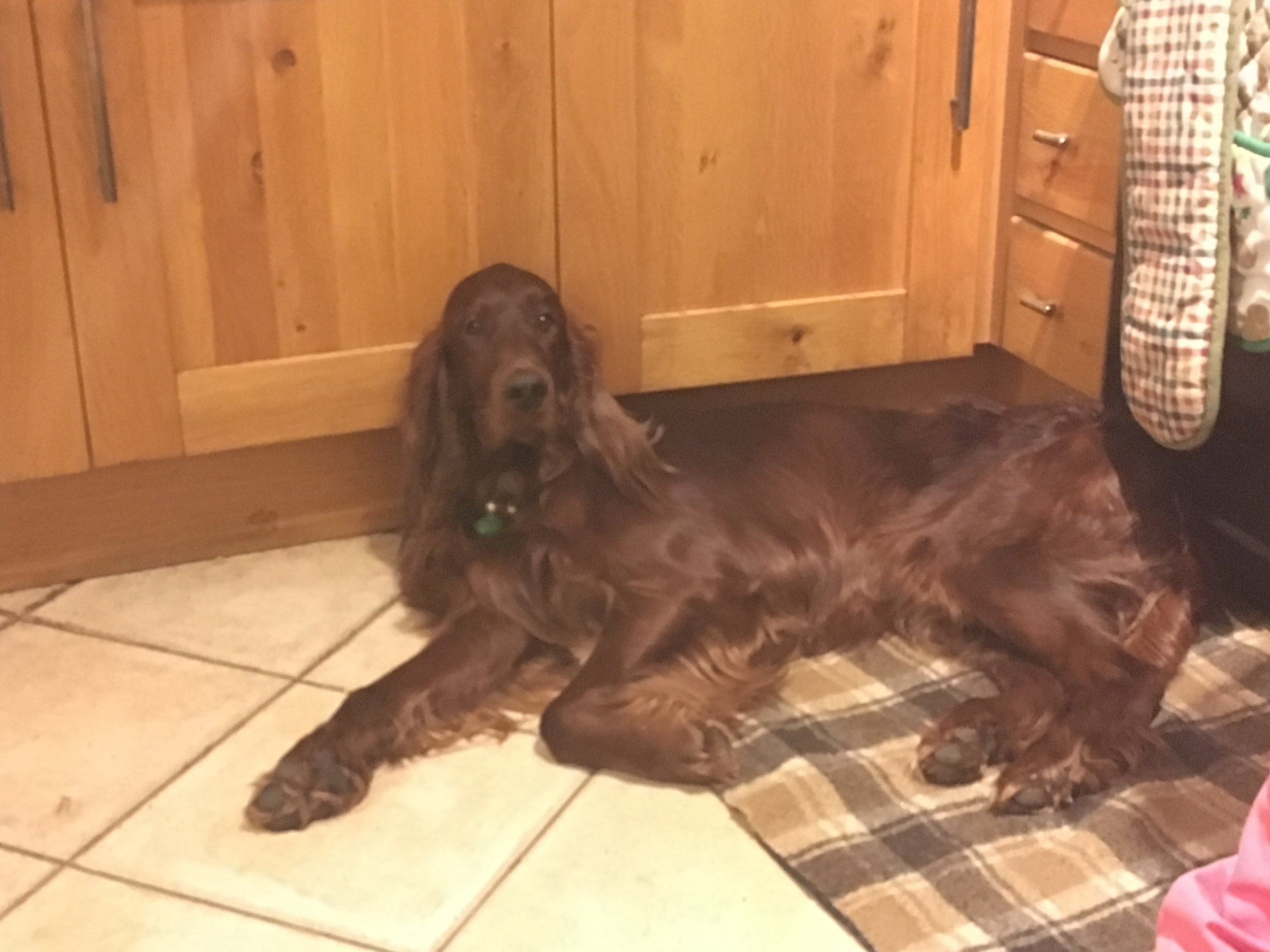 Irish setter lying down.JPG