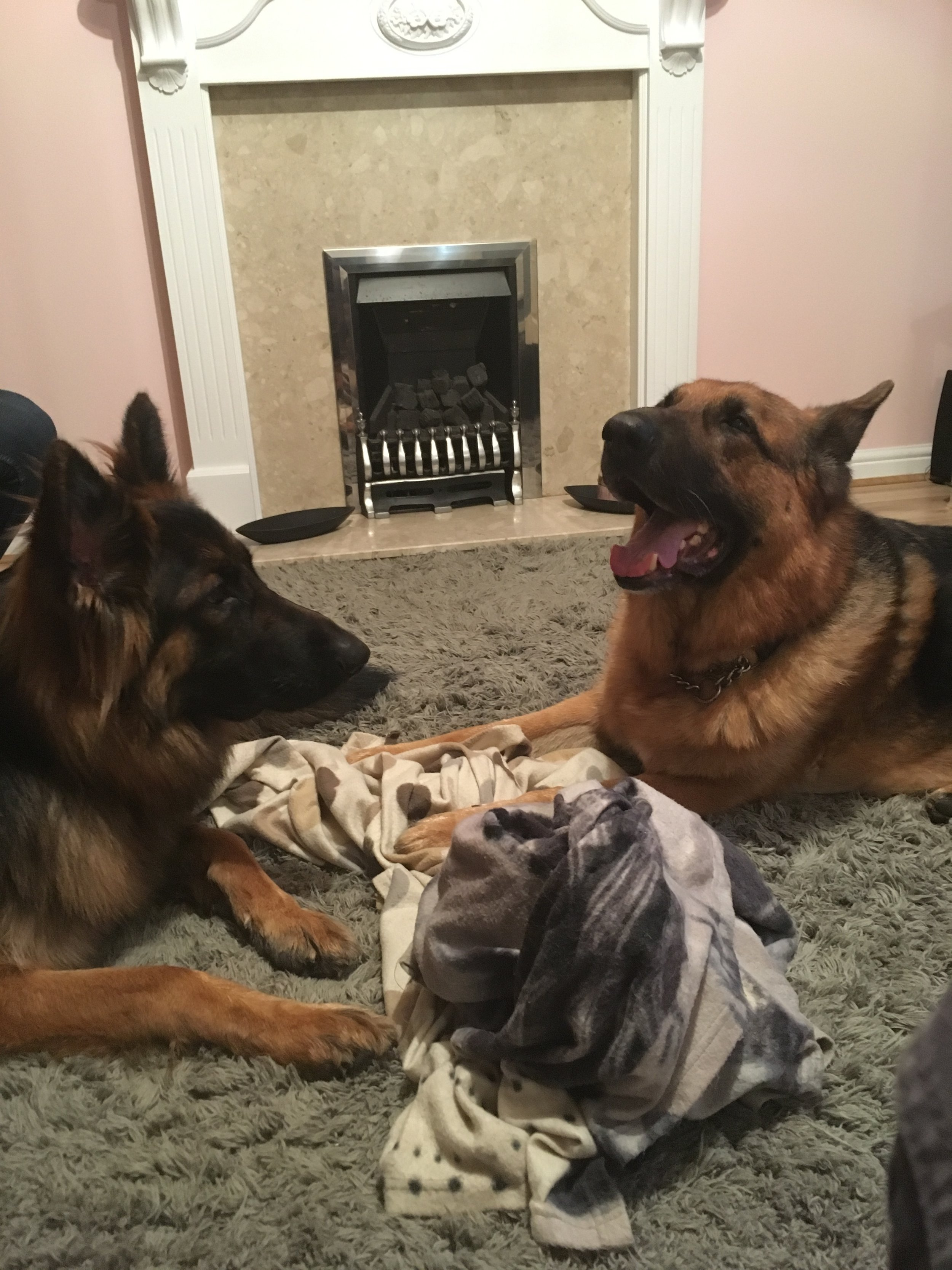 These are the two German shepherd dogs in question.