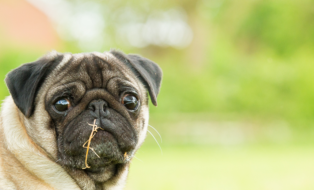 Doug the Pug is a satisfied client, are you?