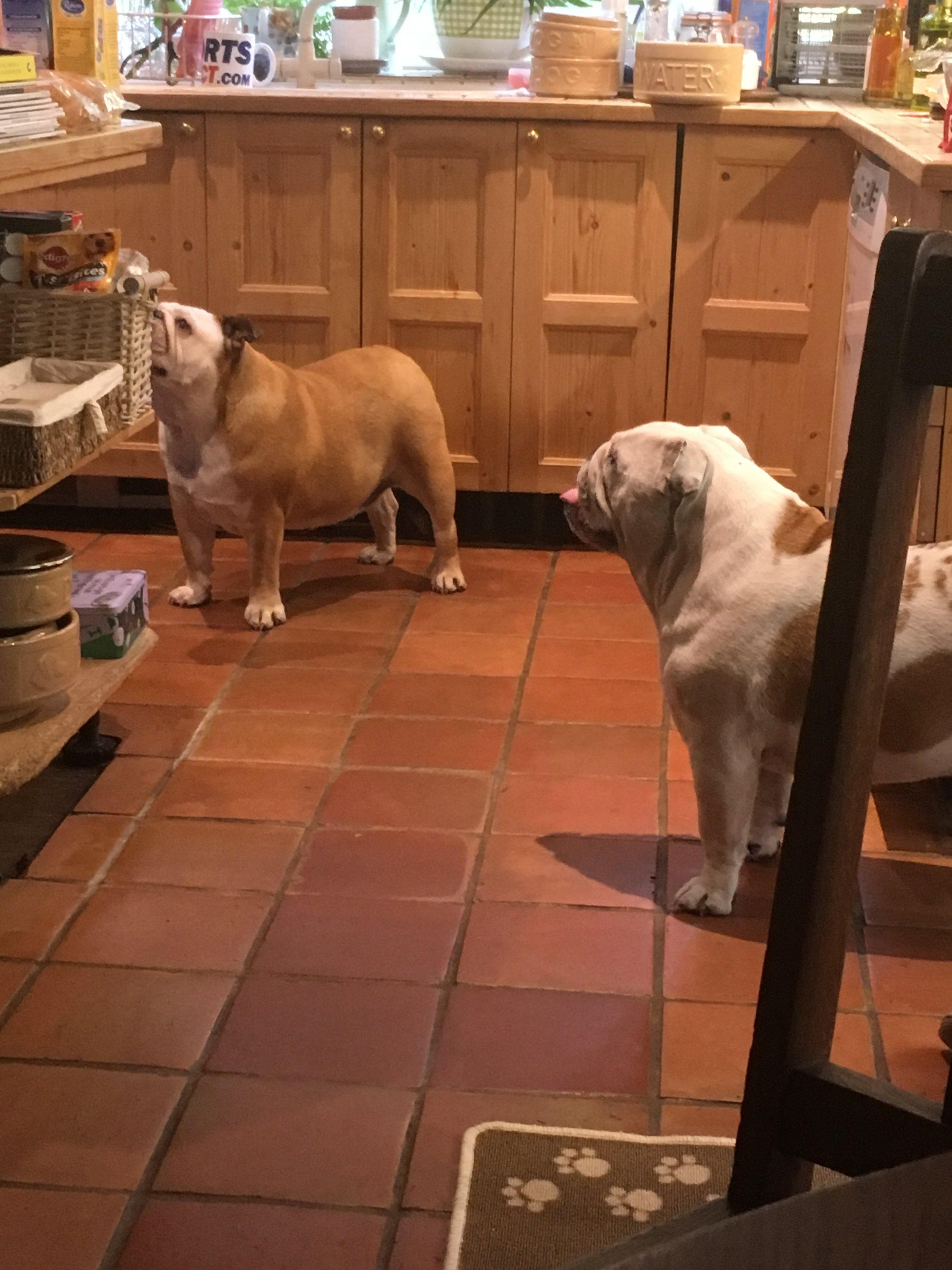 two old english bulldogs.JPG