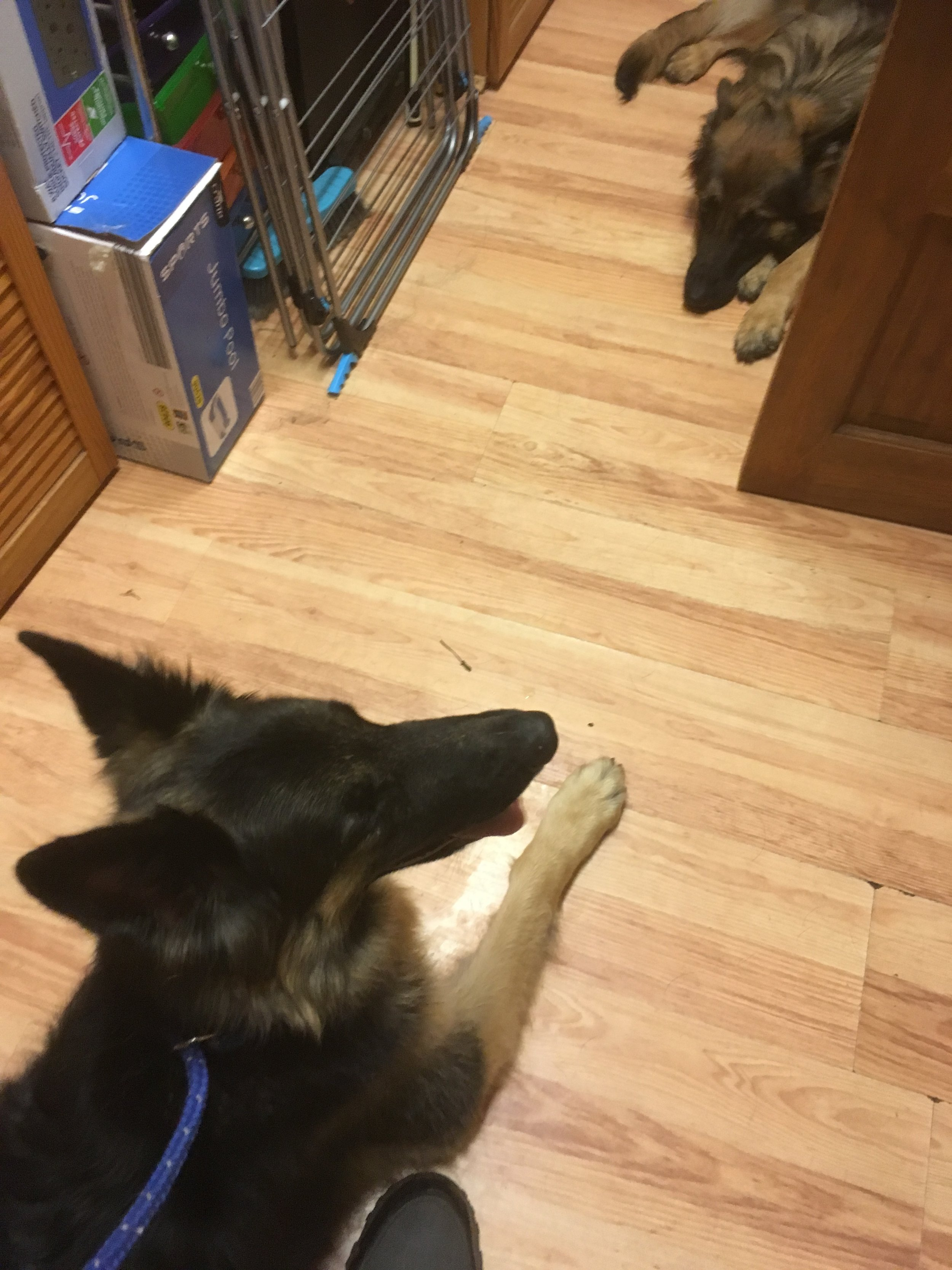 These are the two German shepherd females who need help in getting on together.