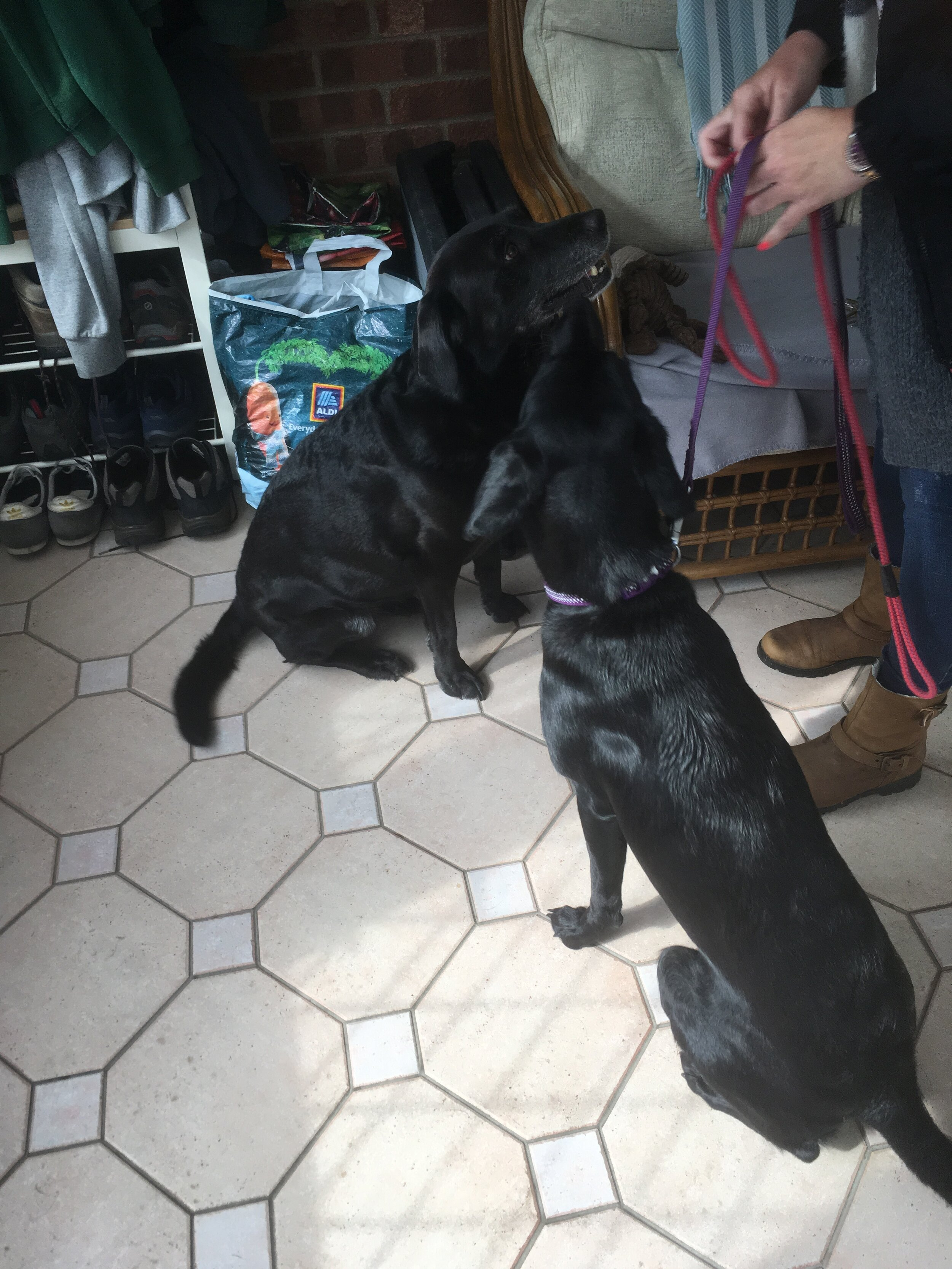 two black labradors waiting to go for a walk.JPG