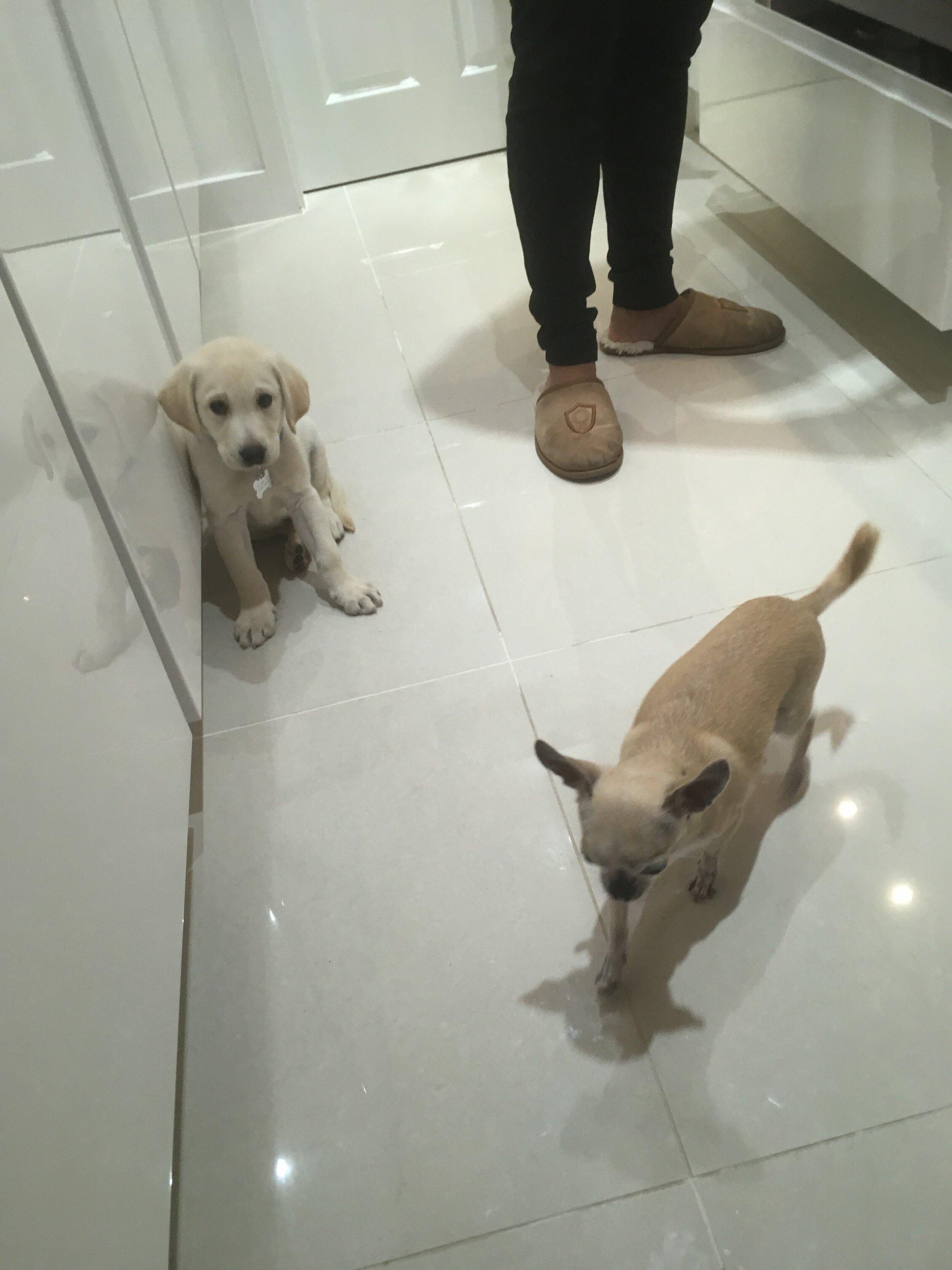 Labrador puppy and a Chihuahua.JPG