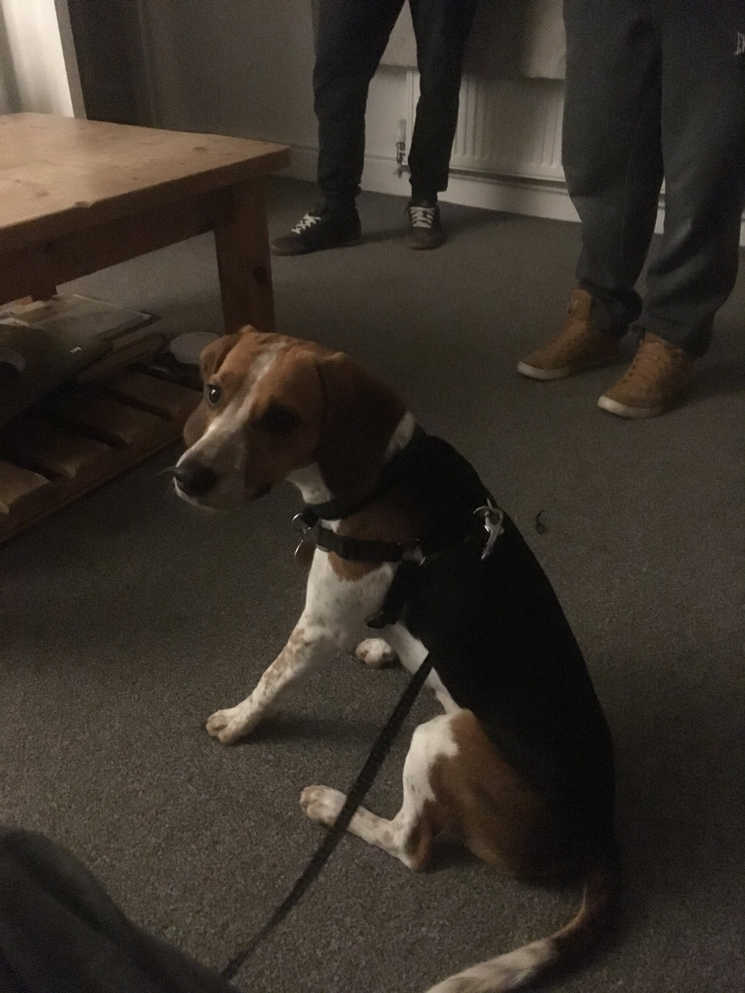 Beagle waiting to go for a walk.