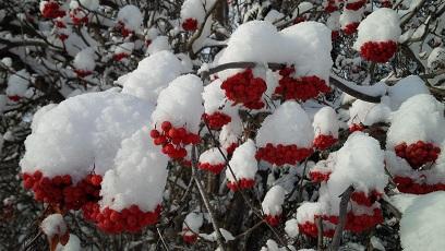 snow-berries-2a.jpg