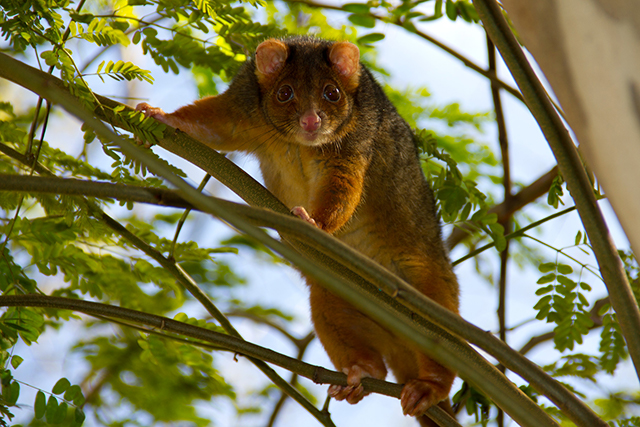 Common Ringtail Possum.