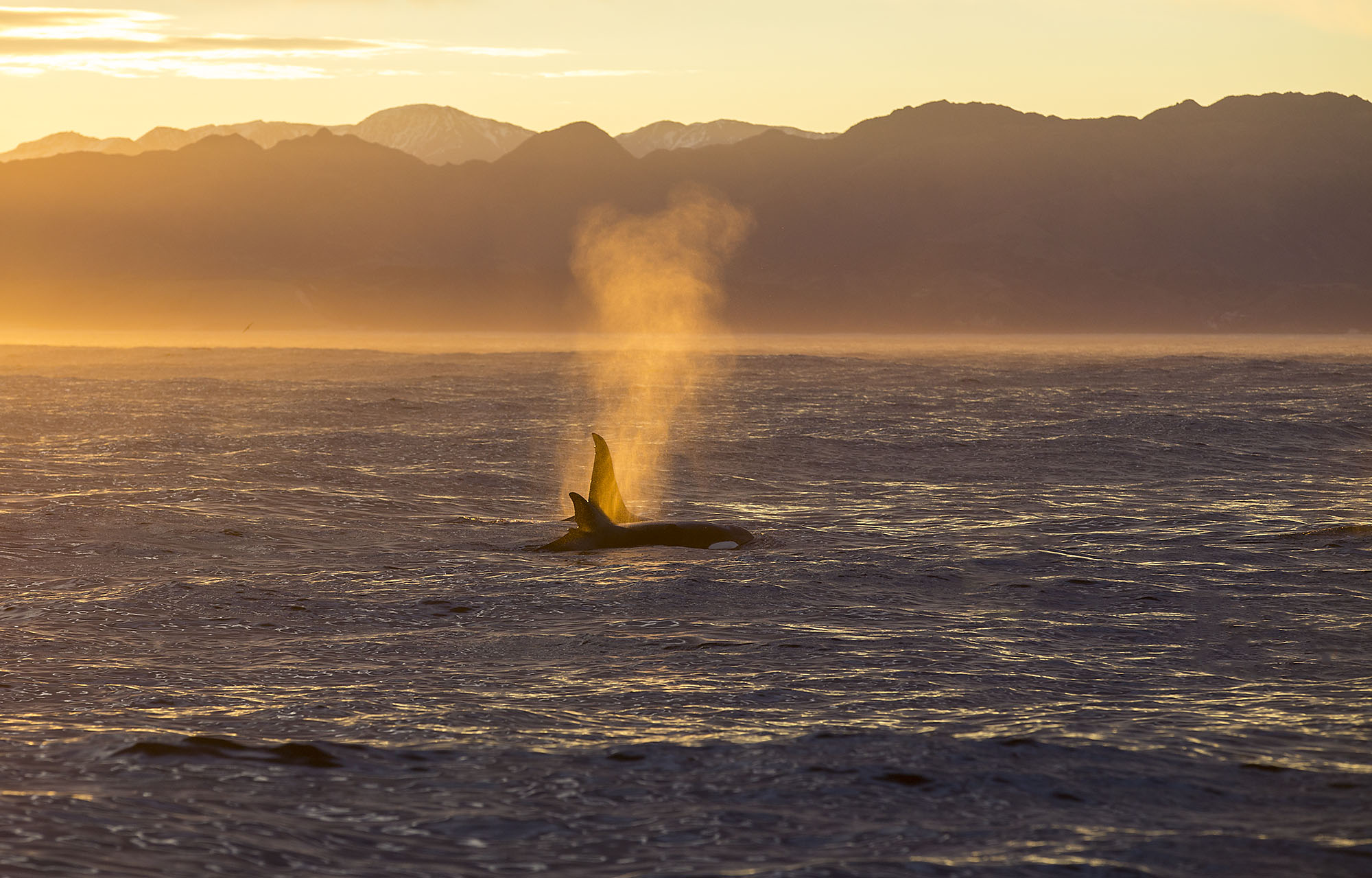 Orca whales - Frequent vistors of Kaikoura