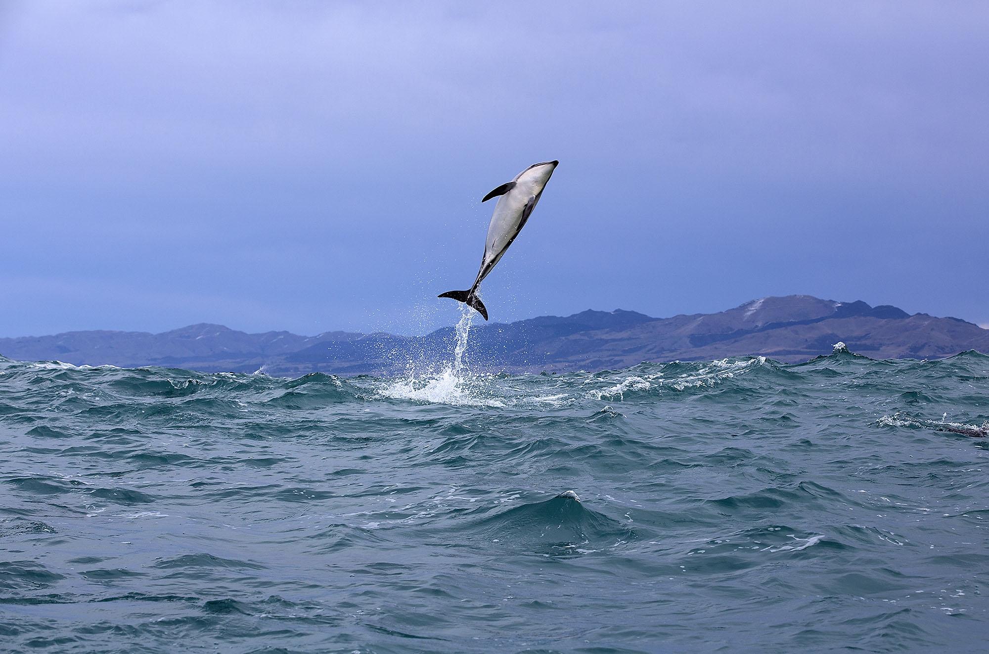 Dusky Dolphins - Residents of Kaikoura