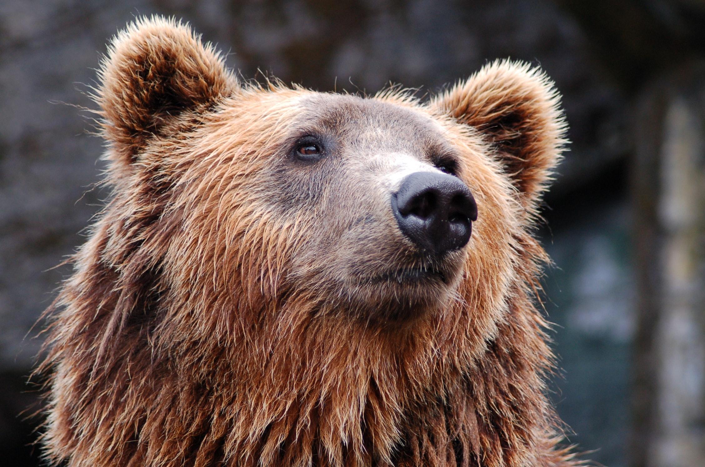 animal-bear-brown-bear-35435.jpg