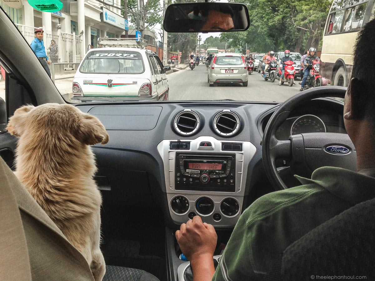 Buddy, our Nepalese street dog, loves riding in the car. Someone once said that he must have been a taxi driver in another lifetime. We believe this to be true.