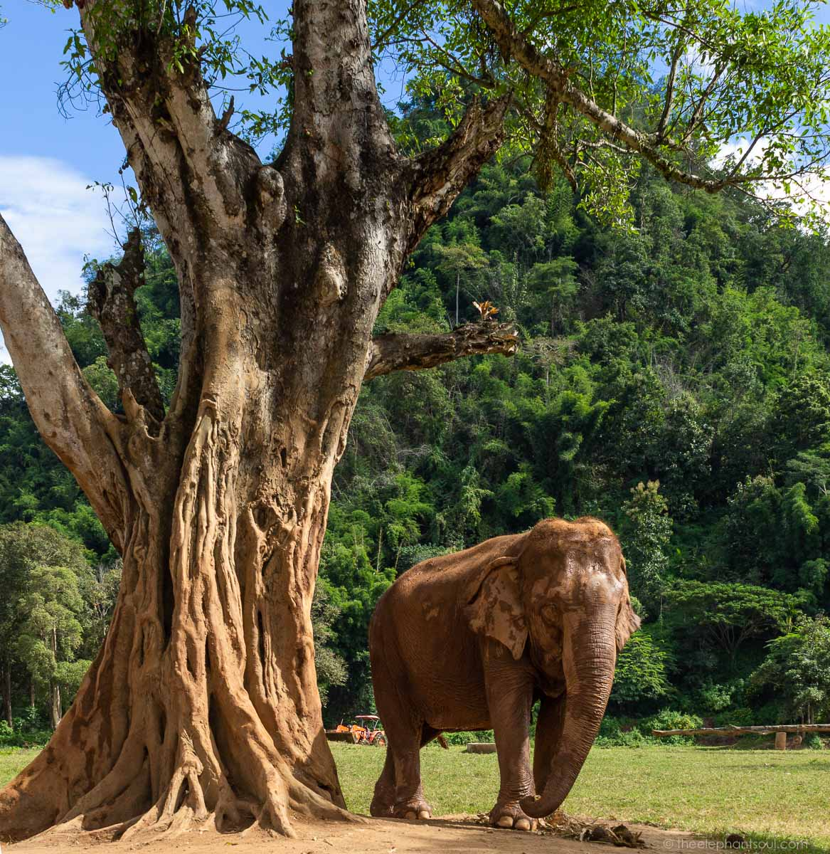 At the  Elephant Nature Park , elephants roam around freely. They are not chained. They are not working for tourists. They are able to take their time and enjoy the sunshine (or the rain). They are safe now.