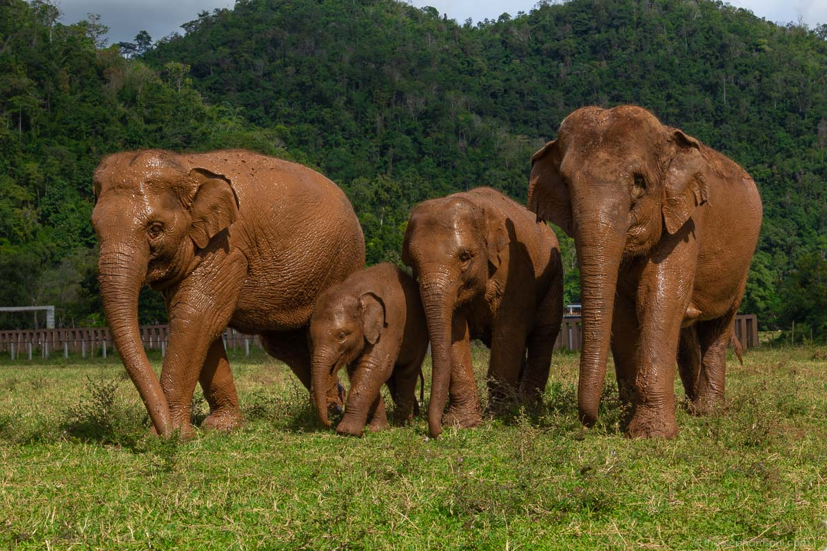 This is one of my favorite images of my time volunteering at the  Elephant Nature Park . You can see how the elephants escort the little ones to protect them . That's a clear example of devotion in action!